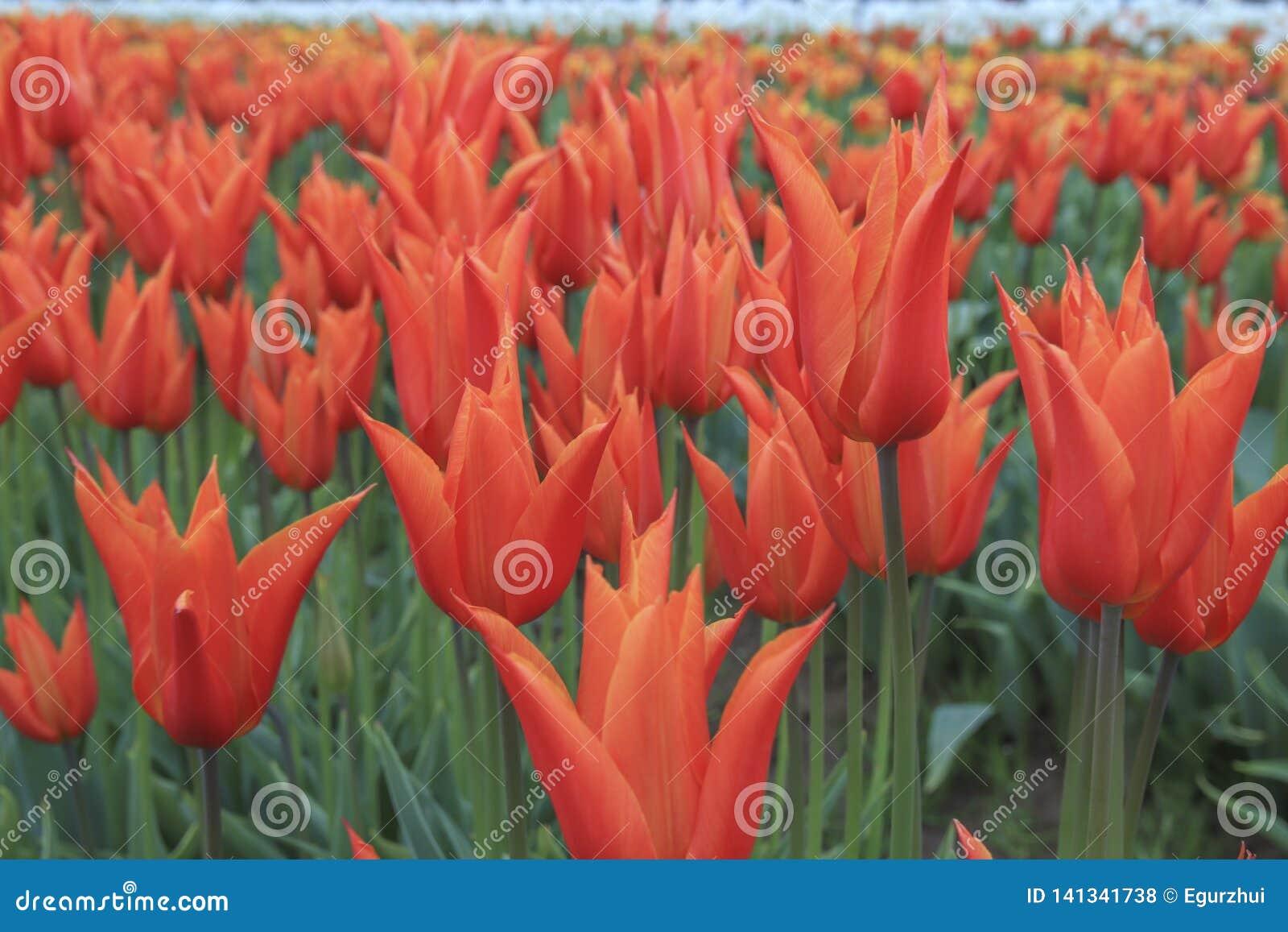 Tulipán anaranjado hermoso