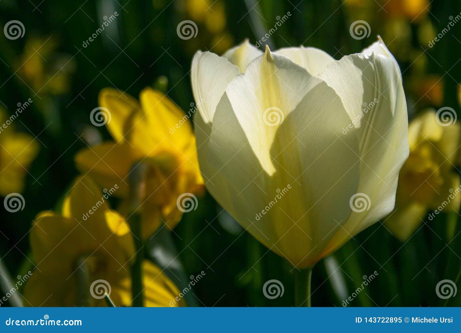Tulipán blanco hermoso