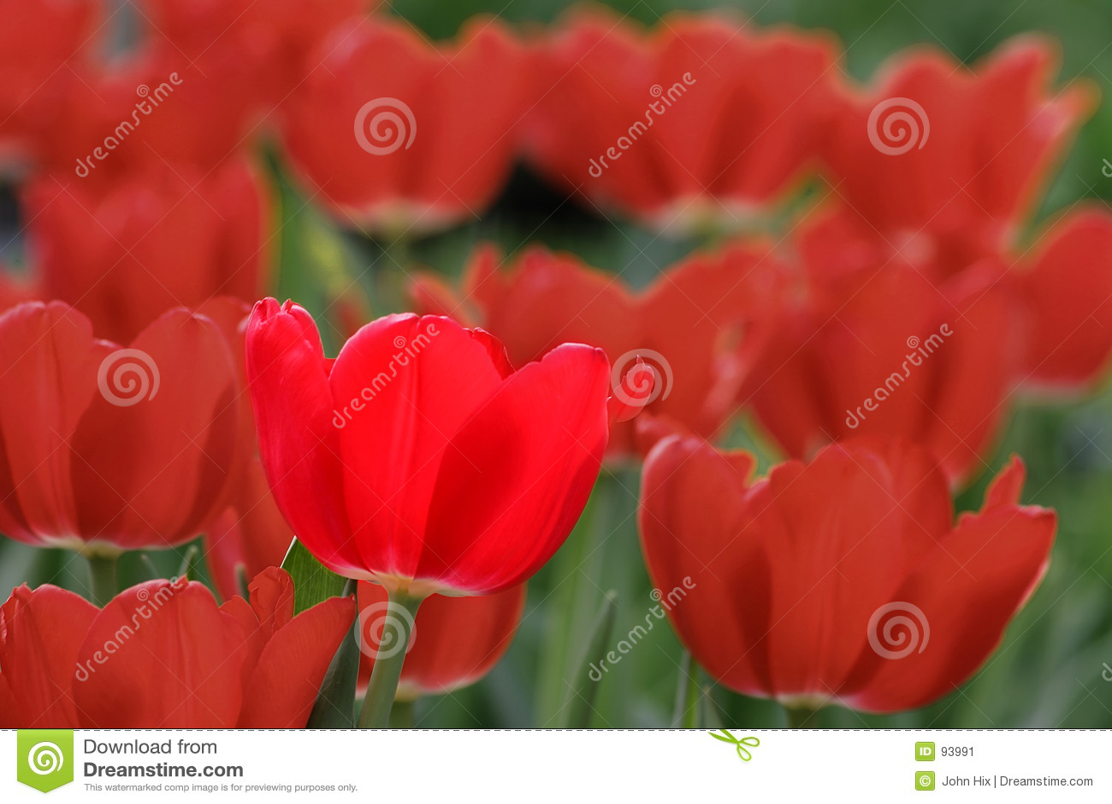 Tulipán brillante
