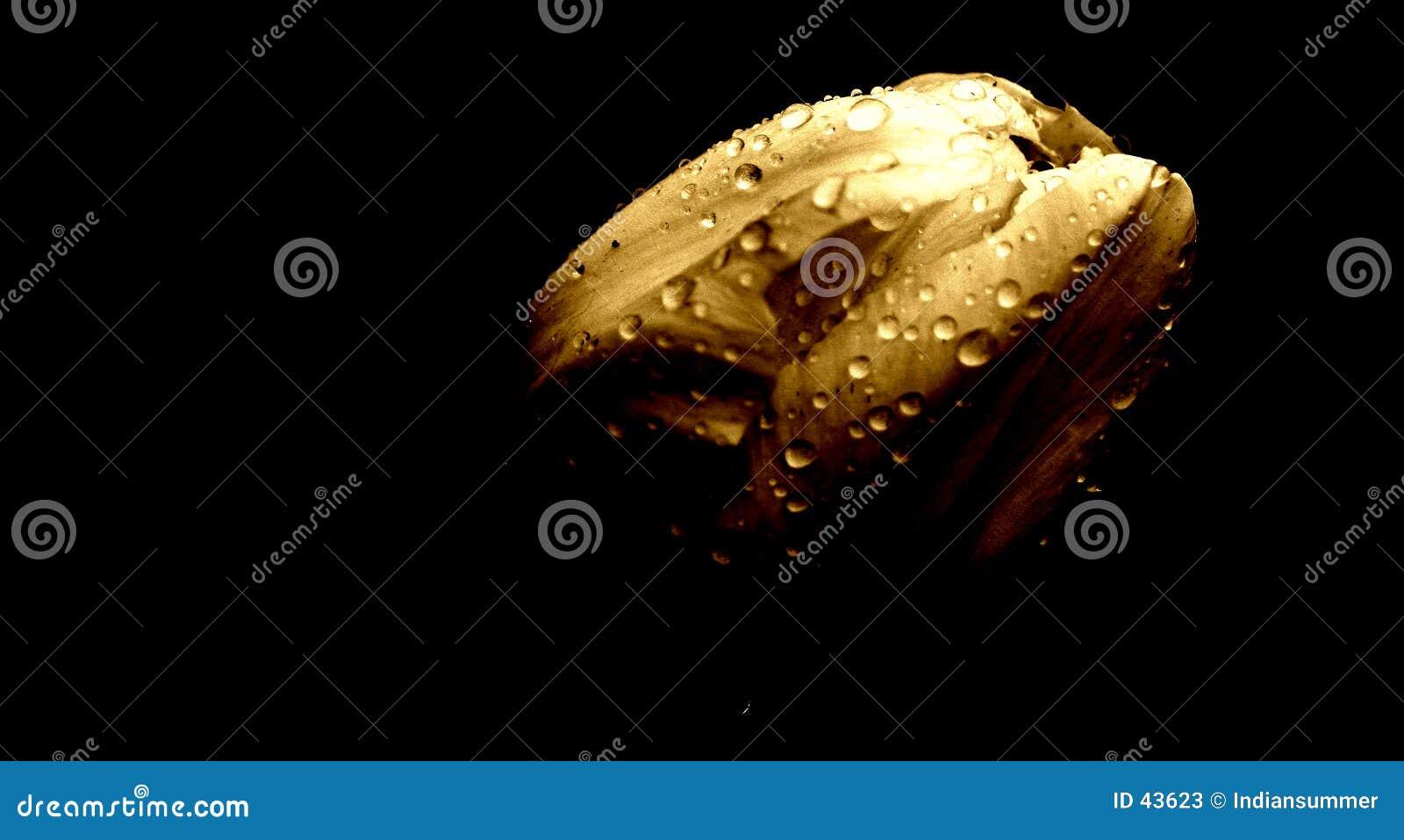 Download Tulipán en la lluvia imagen de archivo. Imagen de raindrop - 43623