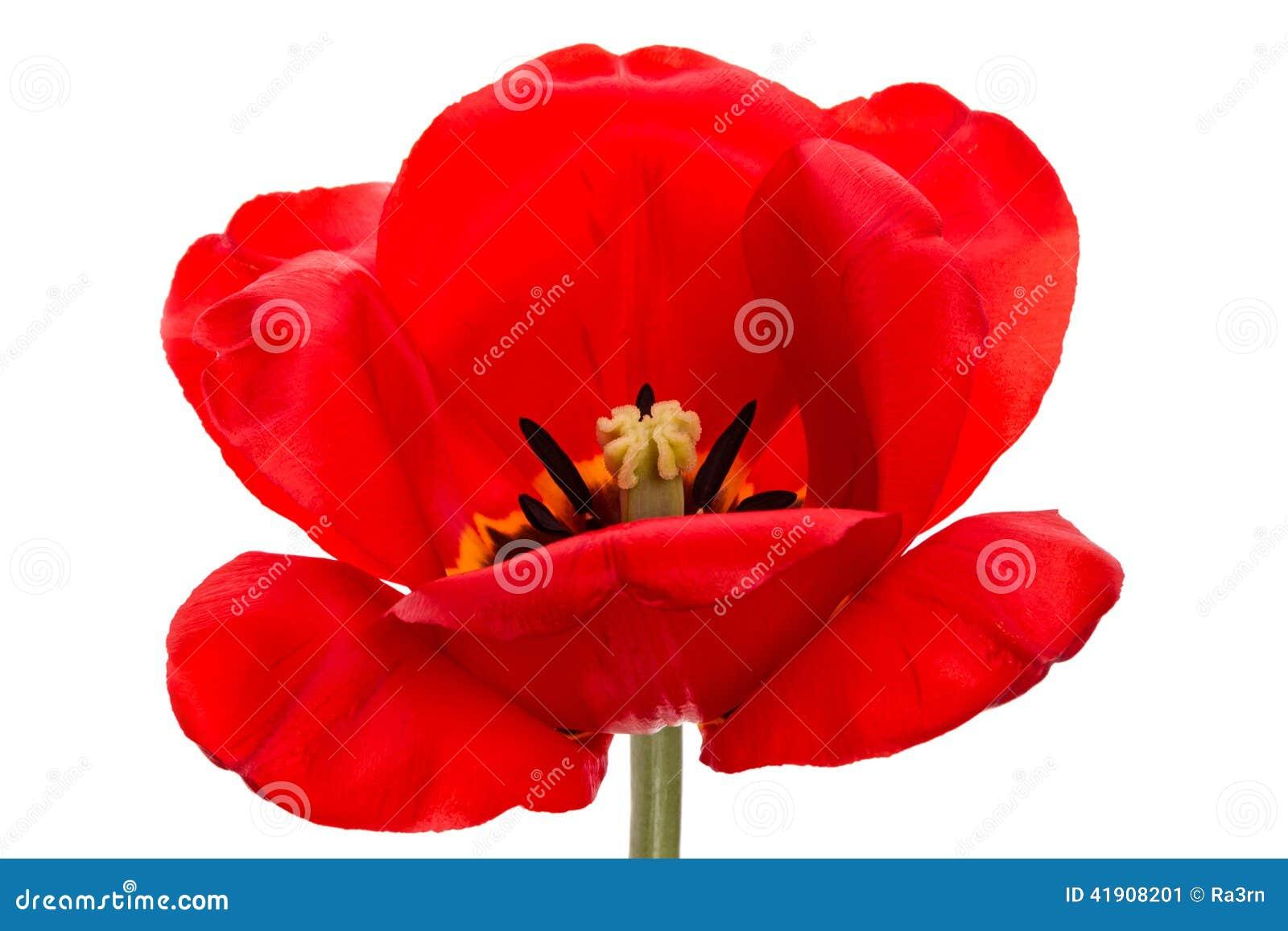 Tulipán grande