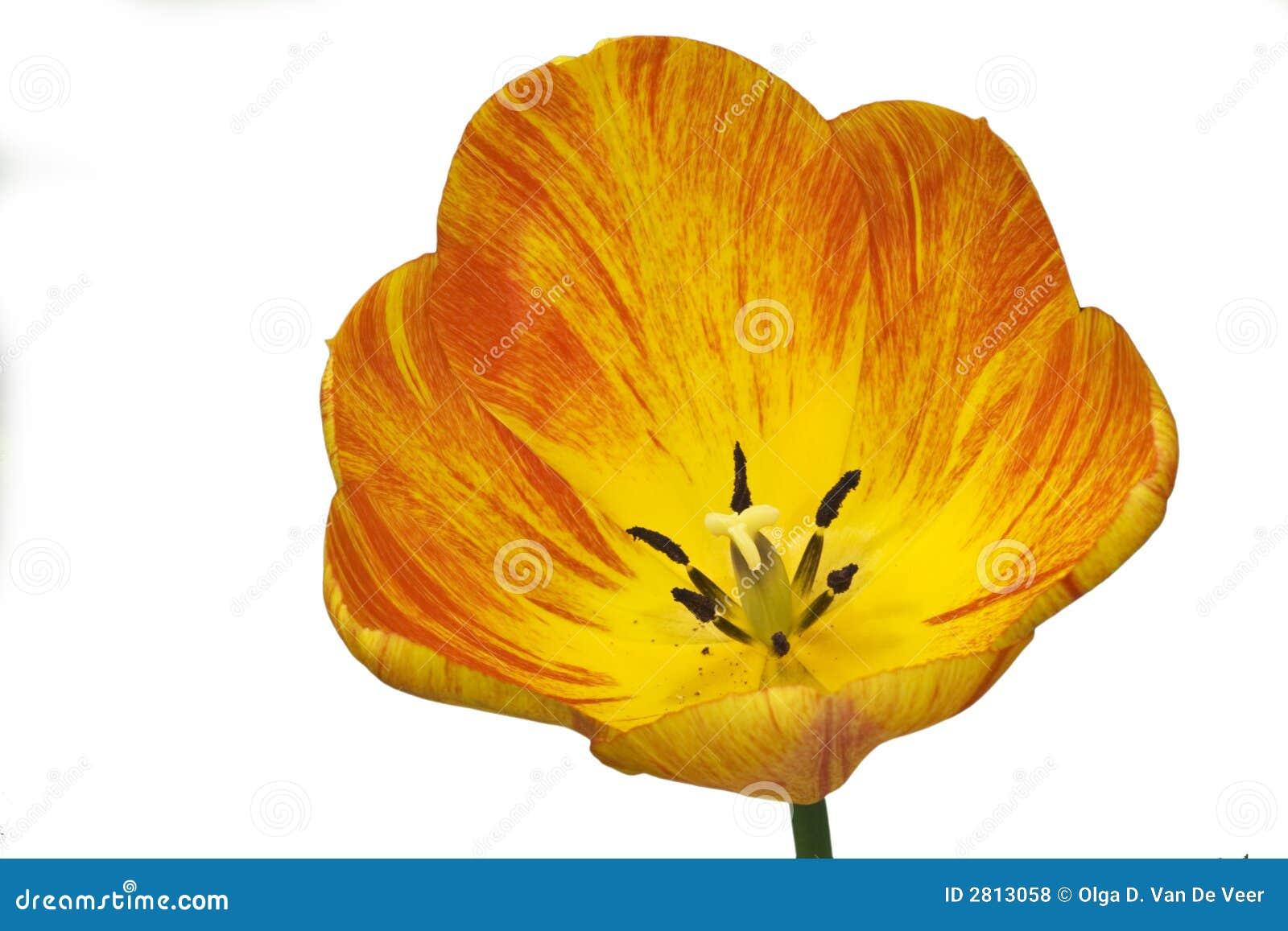 Tulipán rayado aislado
