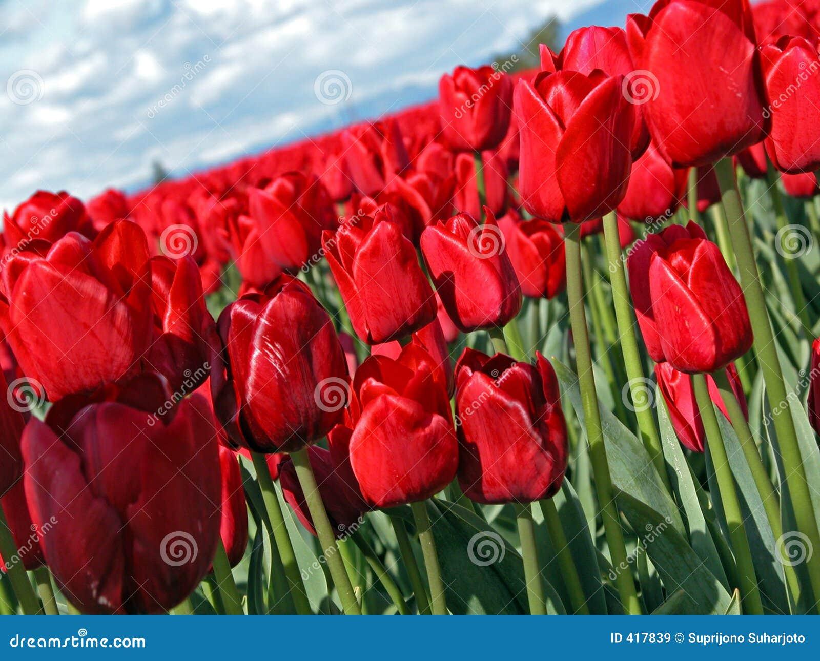 Tulipán rojo