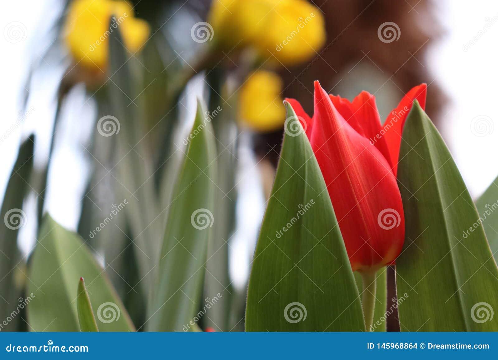 Tulipán rojo/amarillo con el fondo verde