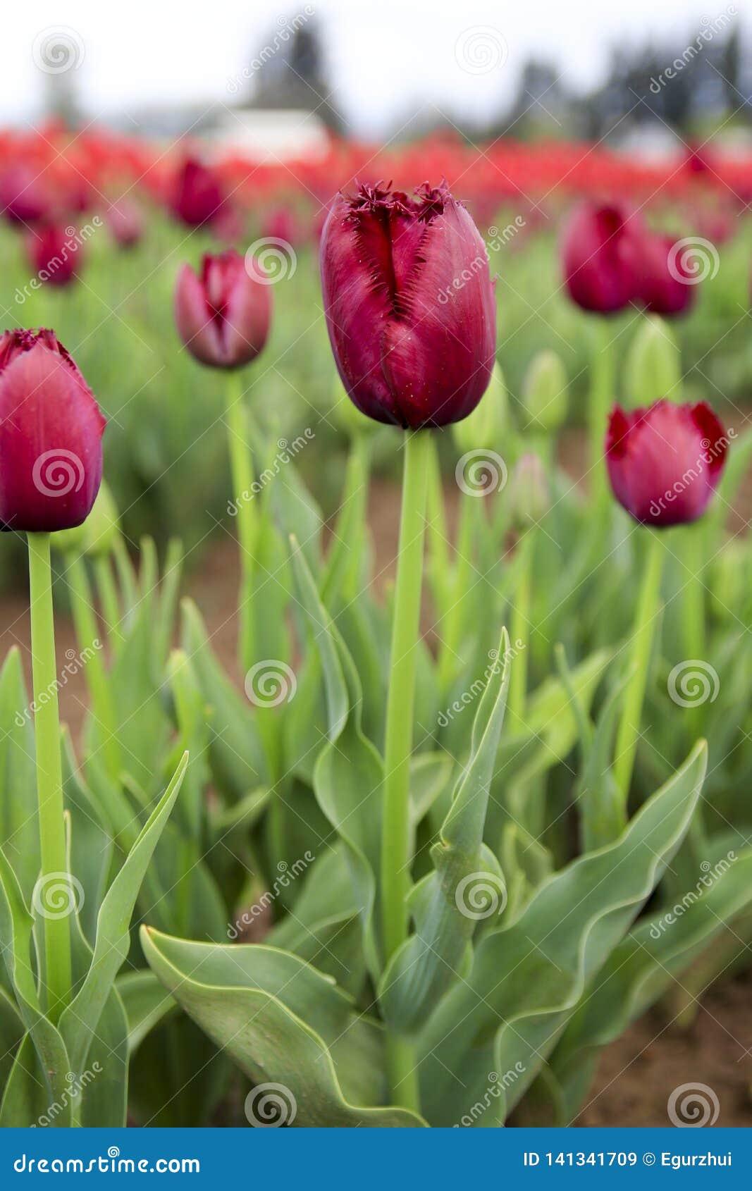 Tulipán rojo oscuro de Borgoña Terry