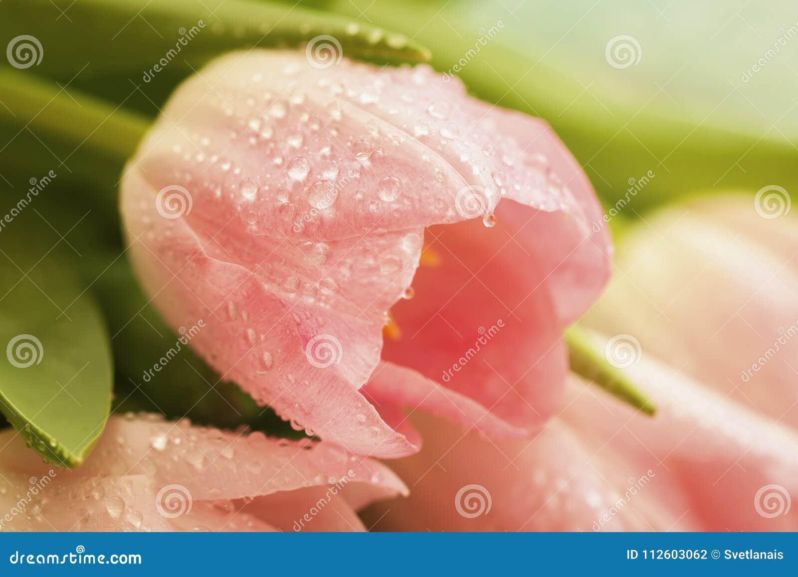 Tulipán rosado con la gota de agua, rocío de los salmones, primer anaranjado, rosa claro rosáceo pálido del color, macro Flores d