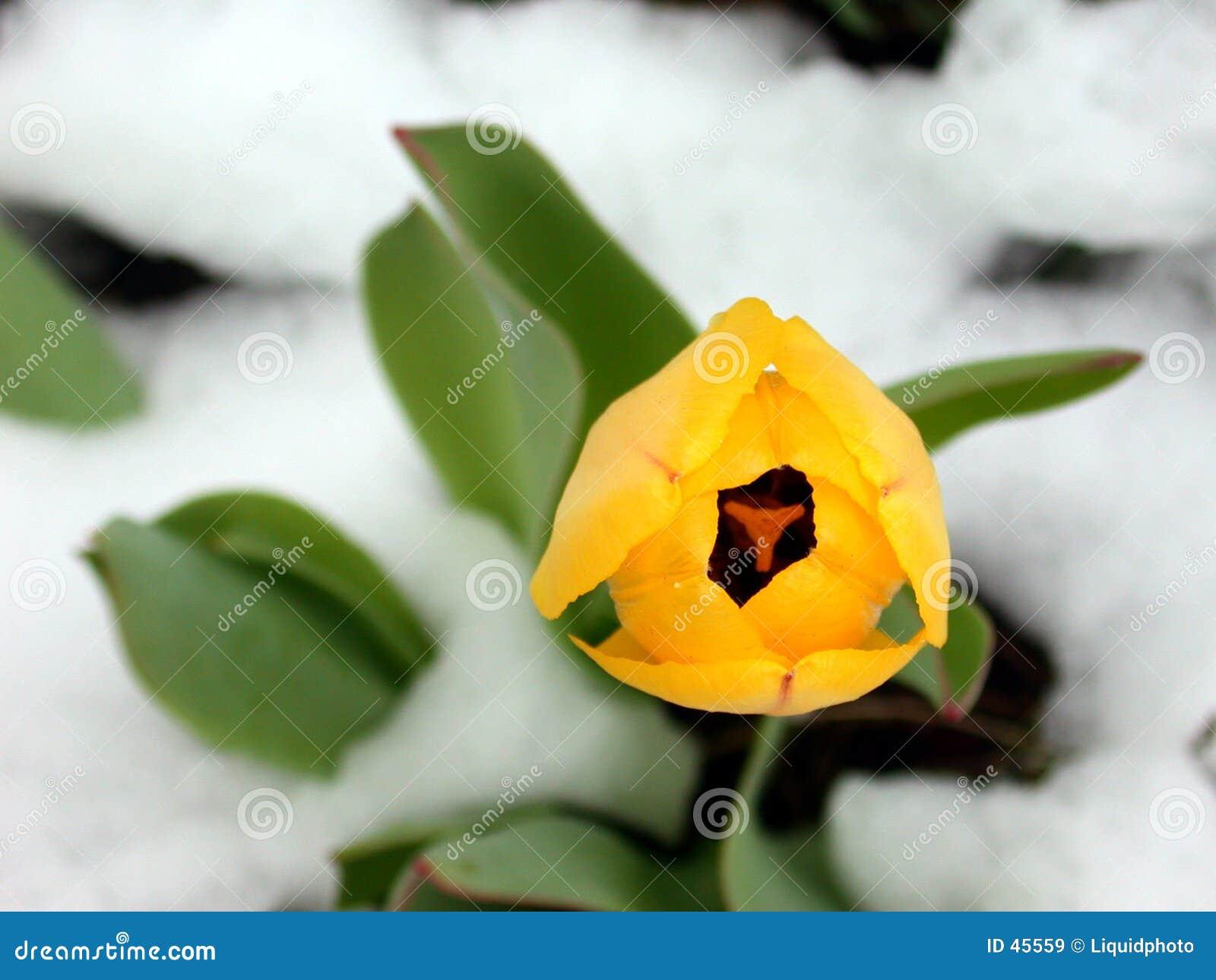 Tulip amarelo na neve