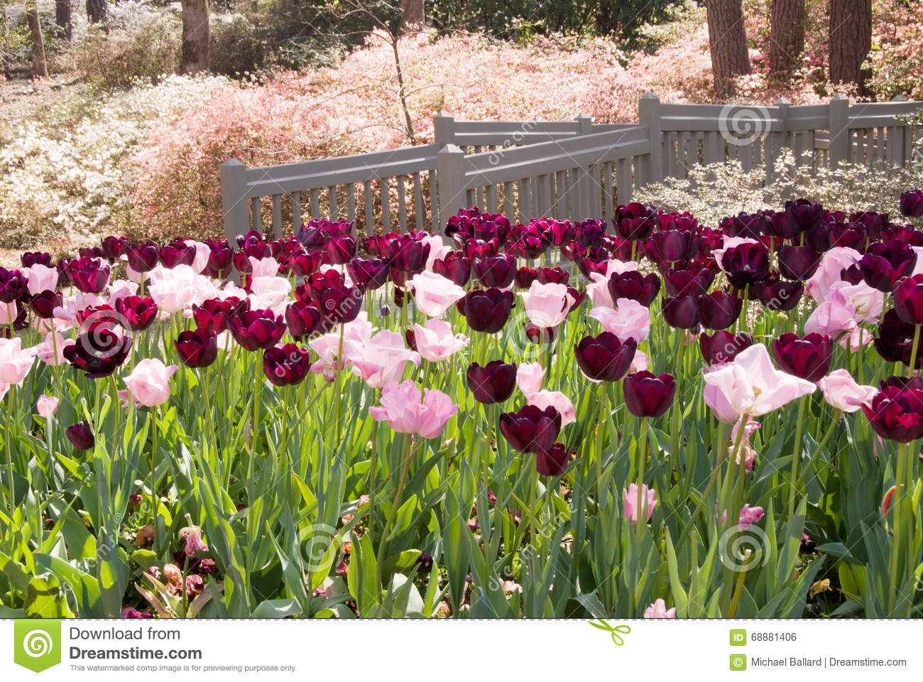 Tulip And Azalea Flowers At Callaway Gardens In Pine Mountain GA