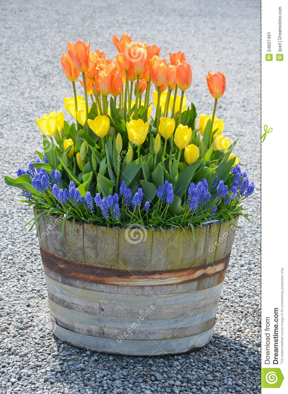 Tulip barrel planter stock image. Image of tulips, spring - 24607491