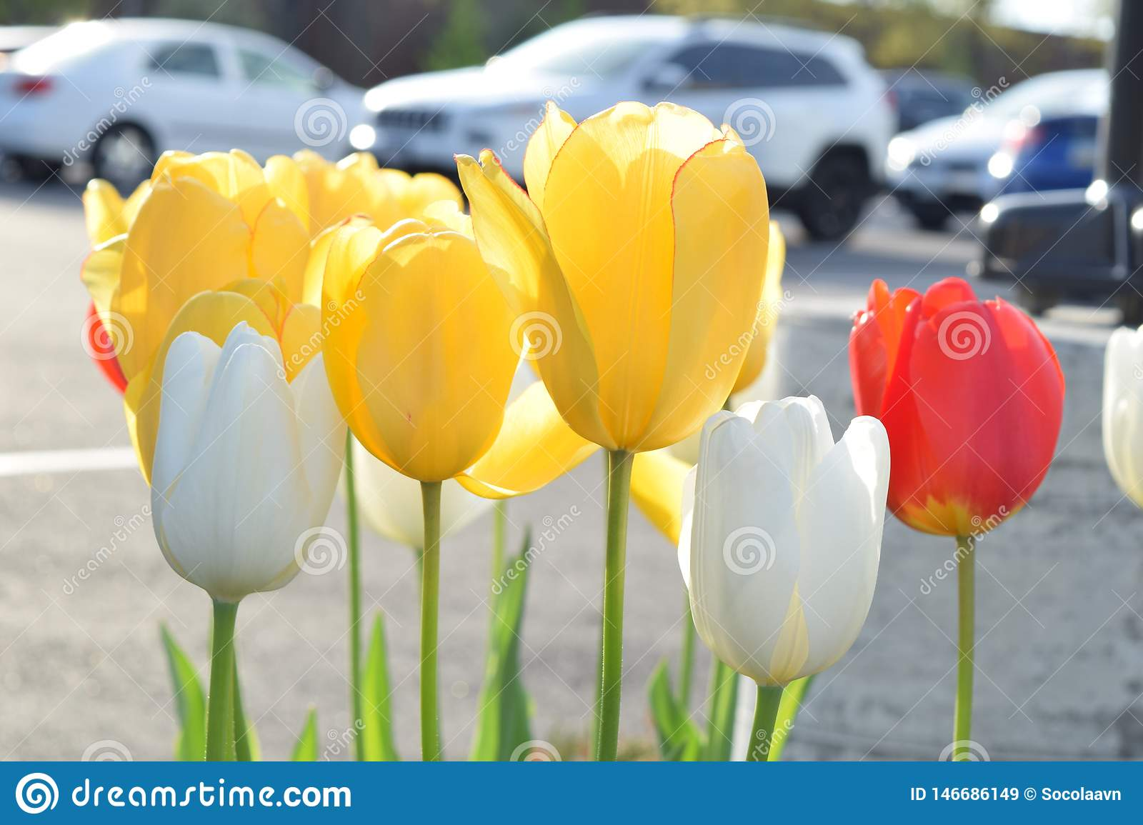 Tulip blooms in the spring
