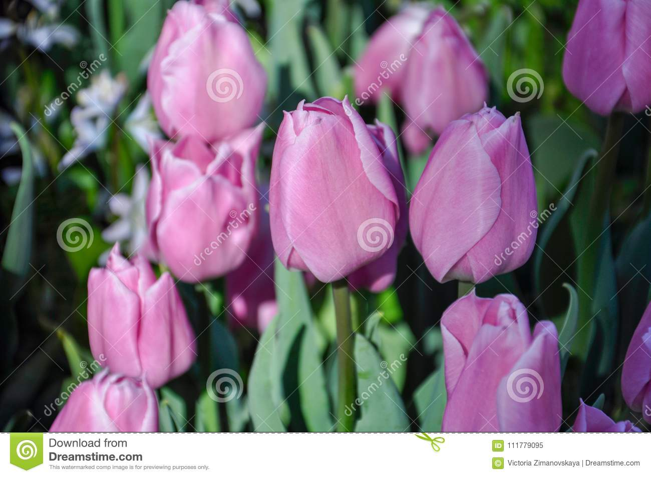 Tulip blossom. Close-up pink flowers field outdoors