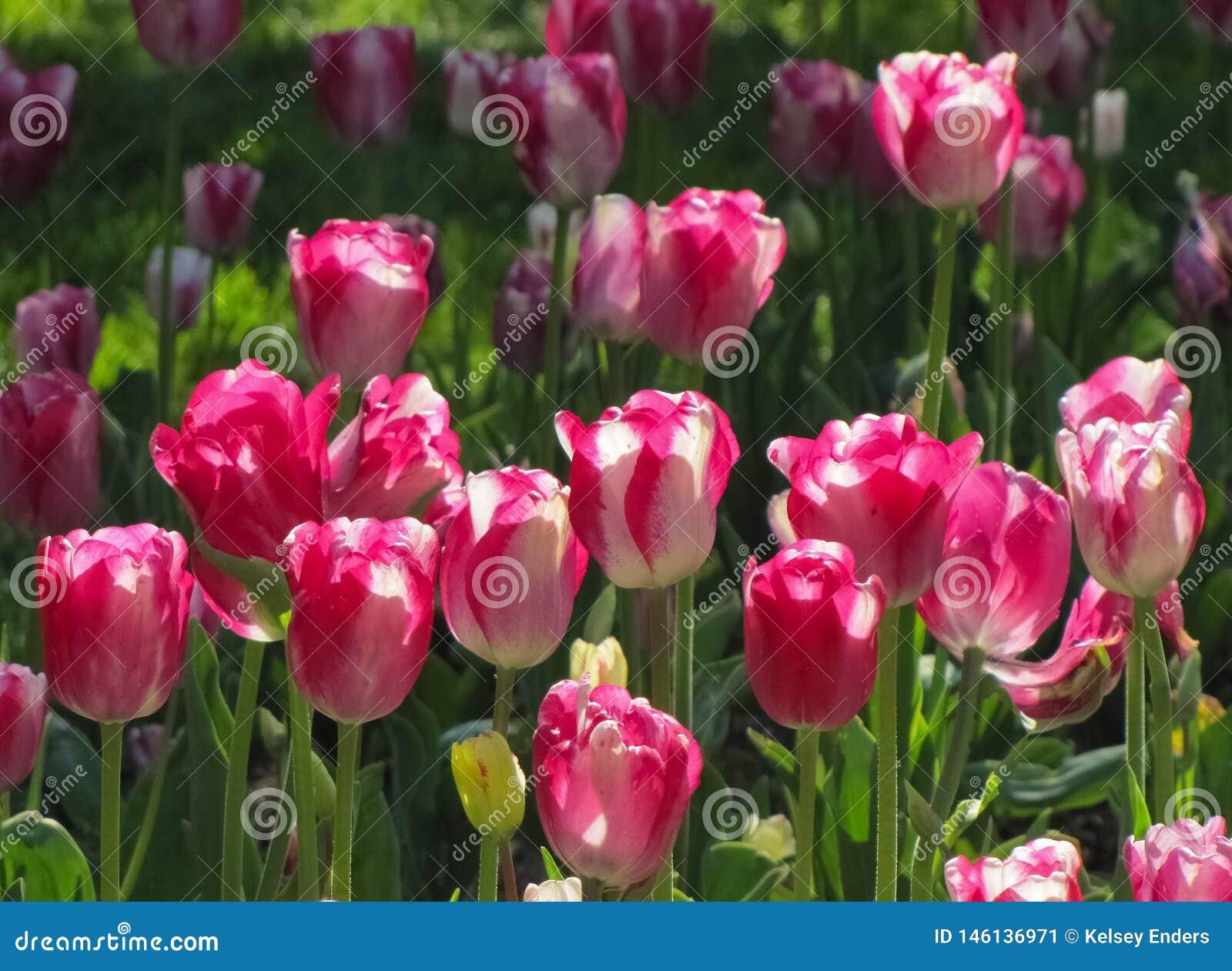 Tulip Cluster branca e cor-de-rosa
