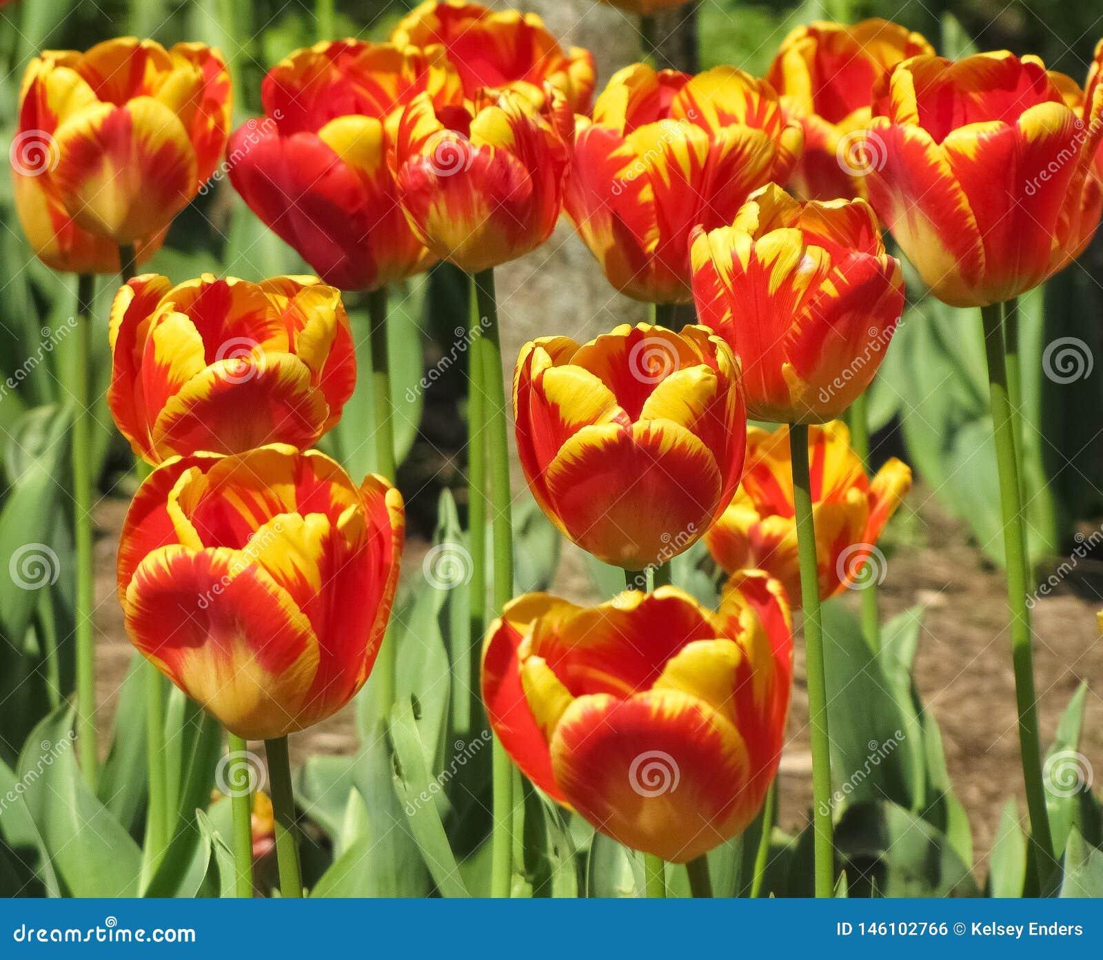 Tulip Cluster rossa e gialla con i gambi