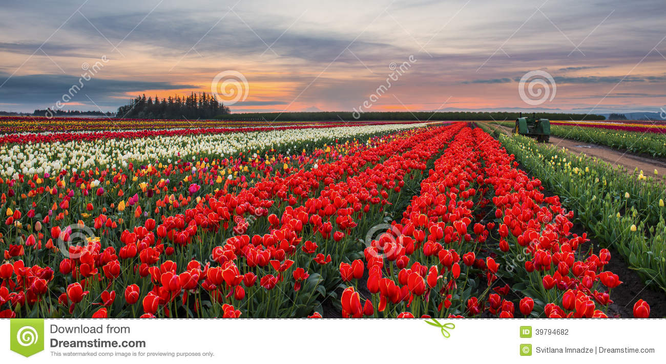 Tulip Farm at Sunset