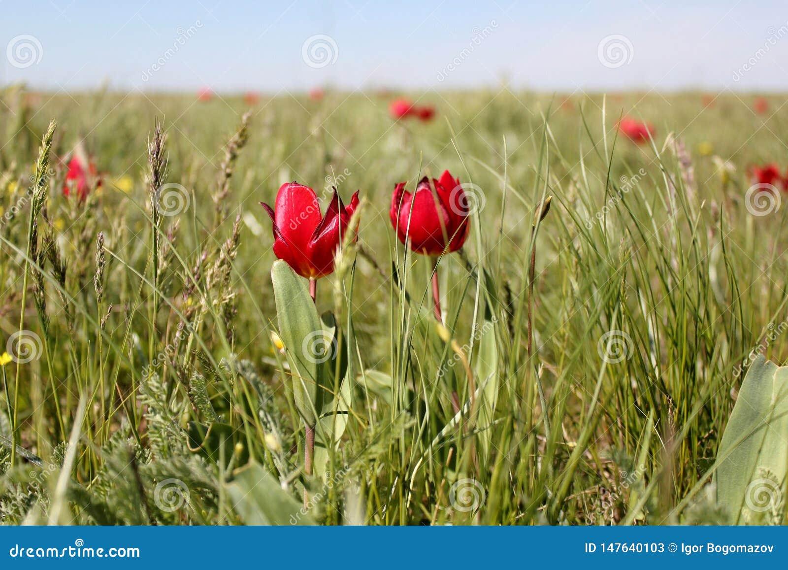 Tulip Festivai i Kalmykia