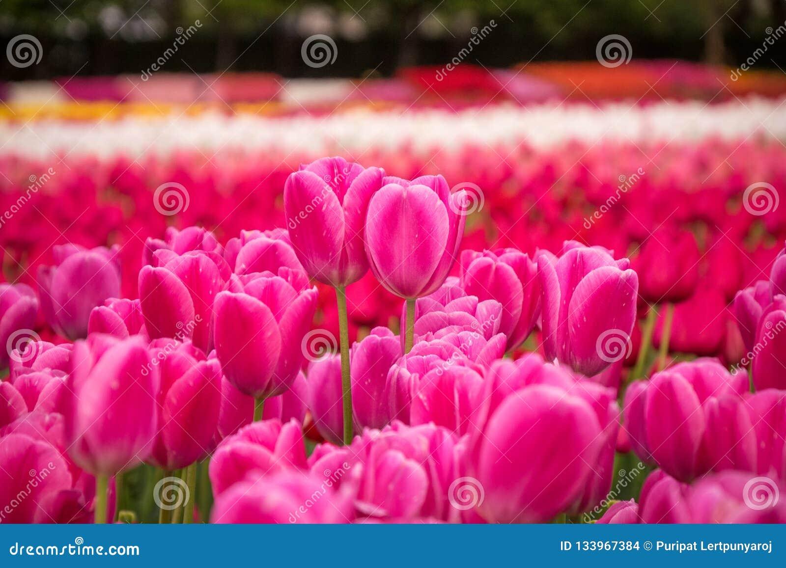 Tulip Field In Nabana No Sato Garden Japan Stock Photo Image Of