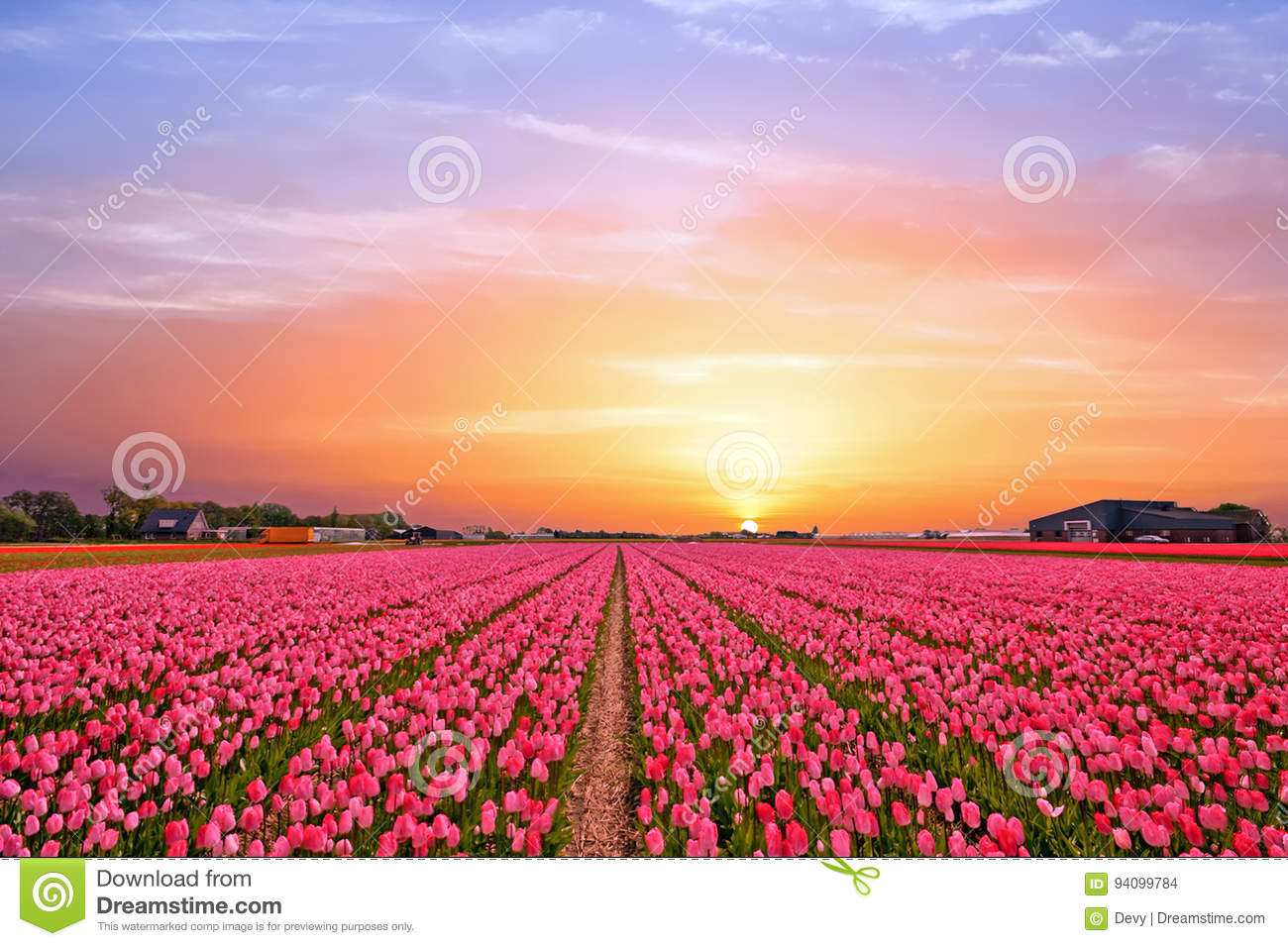 Tulip fields in the countryside from the Netherlands in spring
