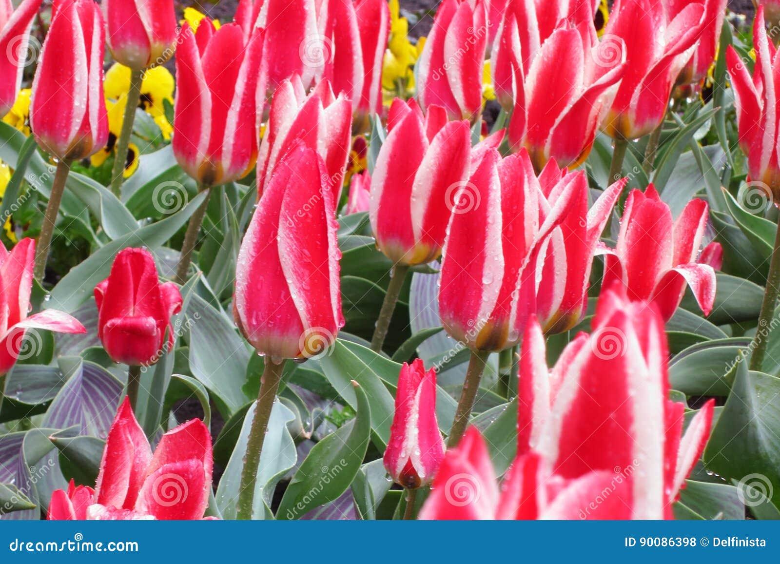Tulip Flower Background - le ressort fleurit les photos courantes