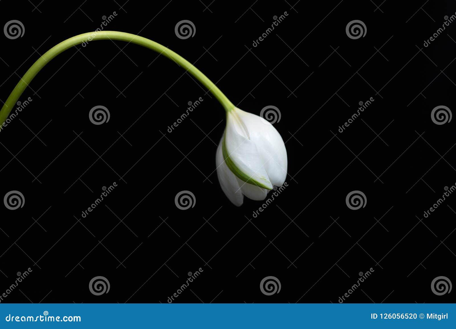 Tulip Flower blanca en un fondo negro