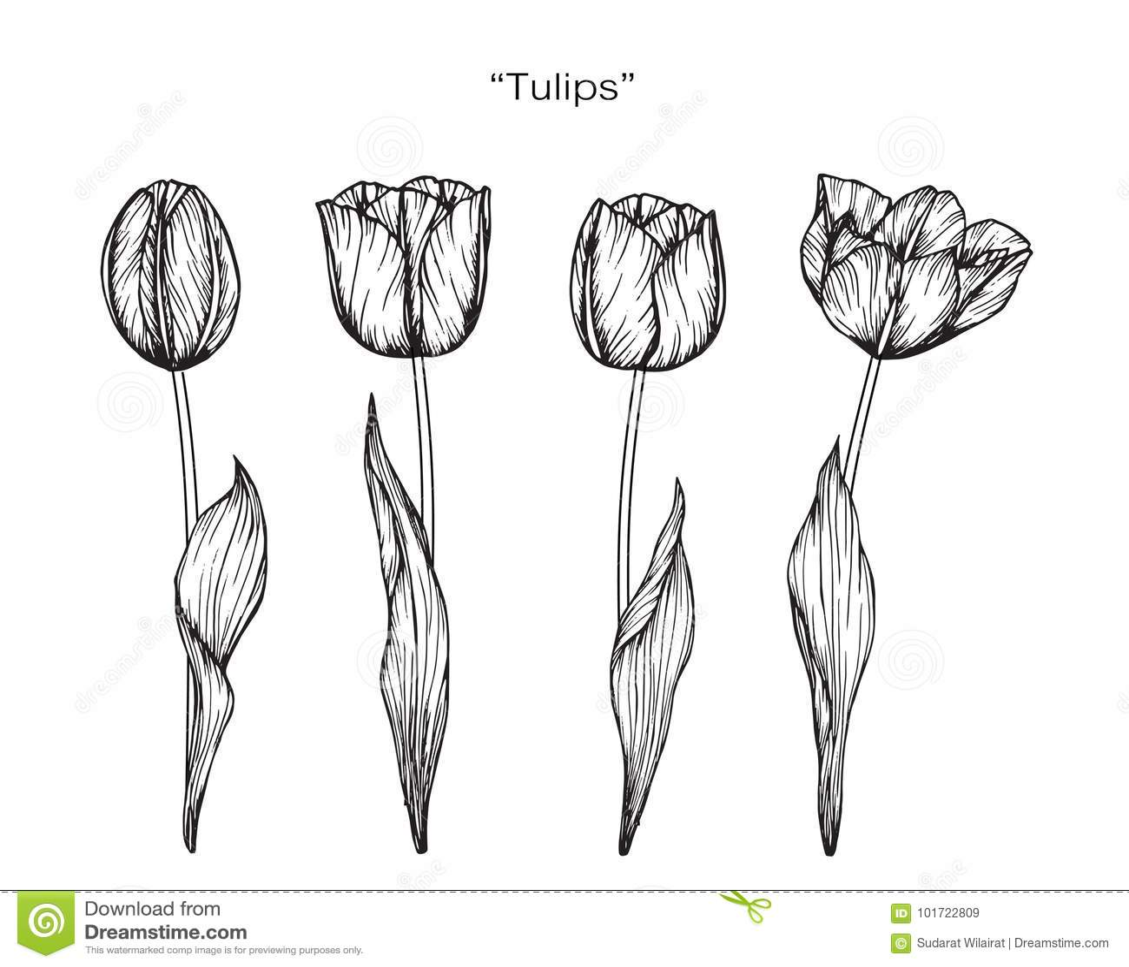 tulip flower drawing and sketch stock illustration illustration