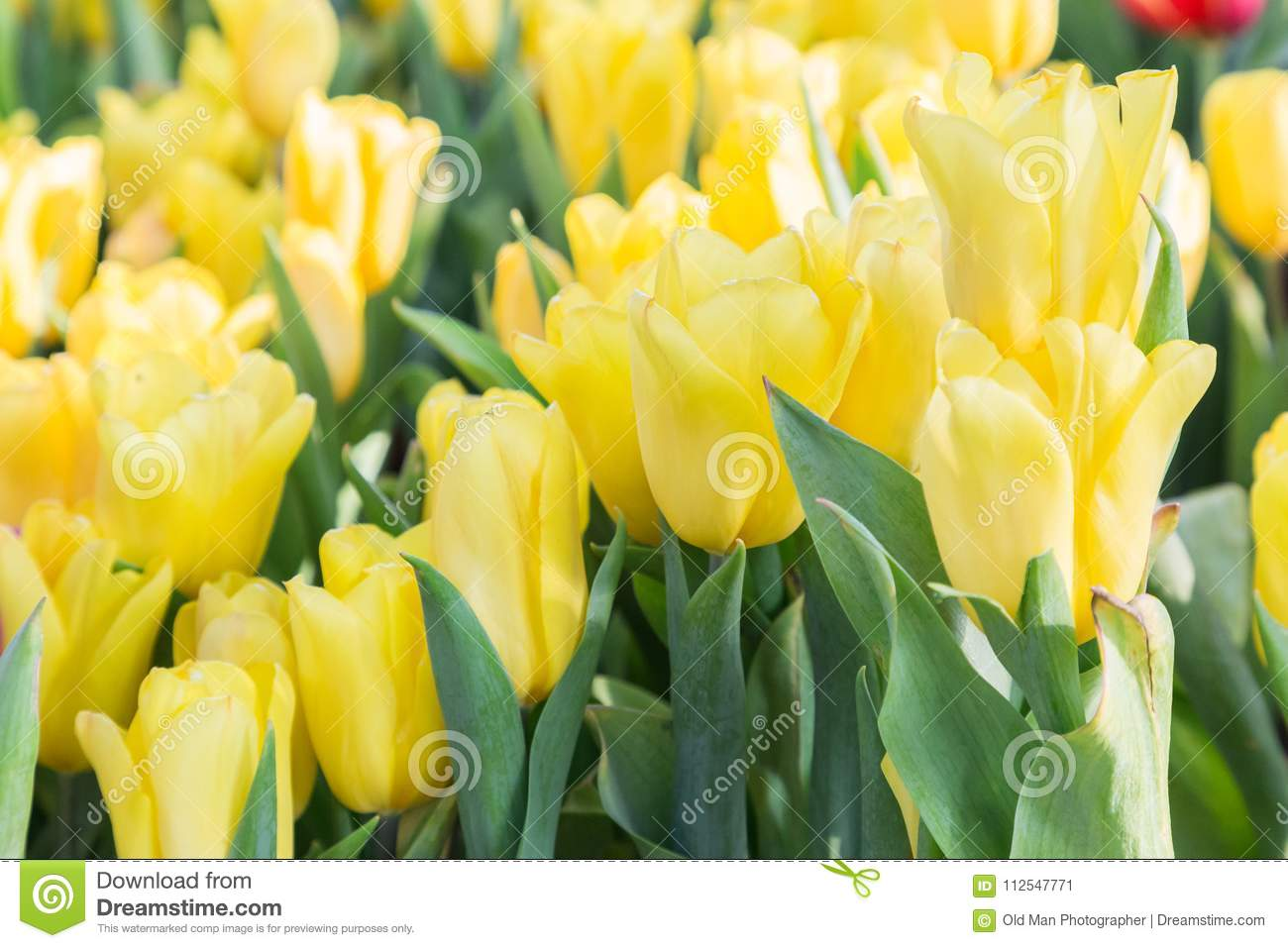 Tulip Flower With Green Leaf Background In Tulip Field At Winter Or