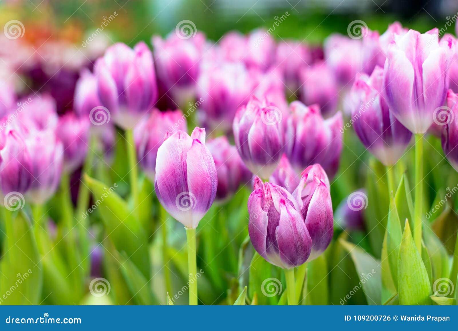 Tulip Flower pourpre dans le jardin Beau bouquet des tulipes Tulipes colorées