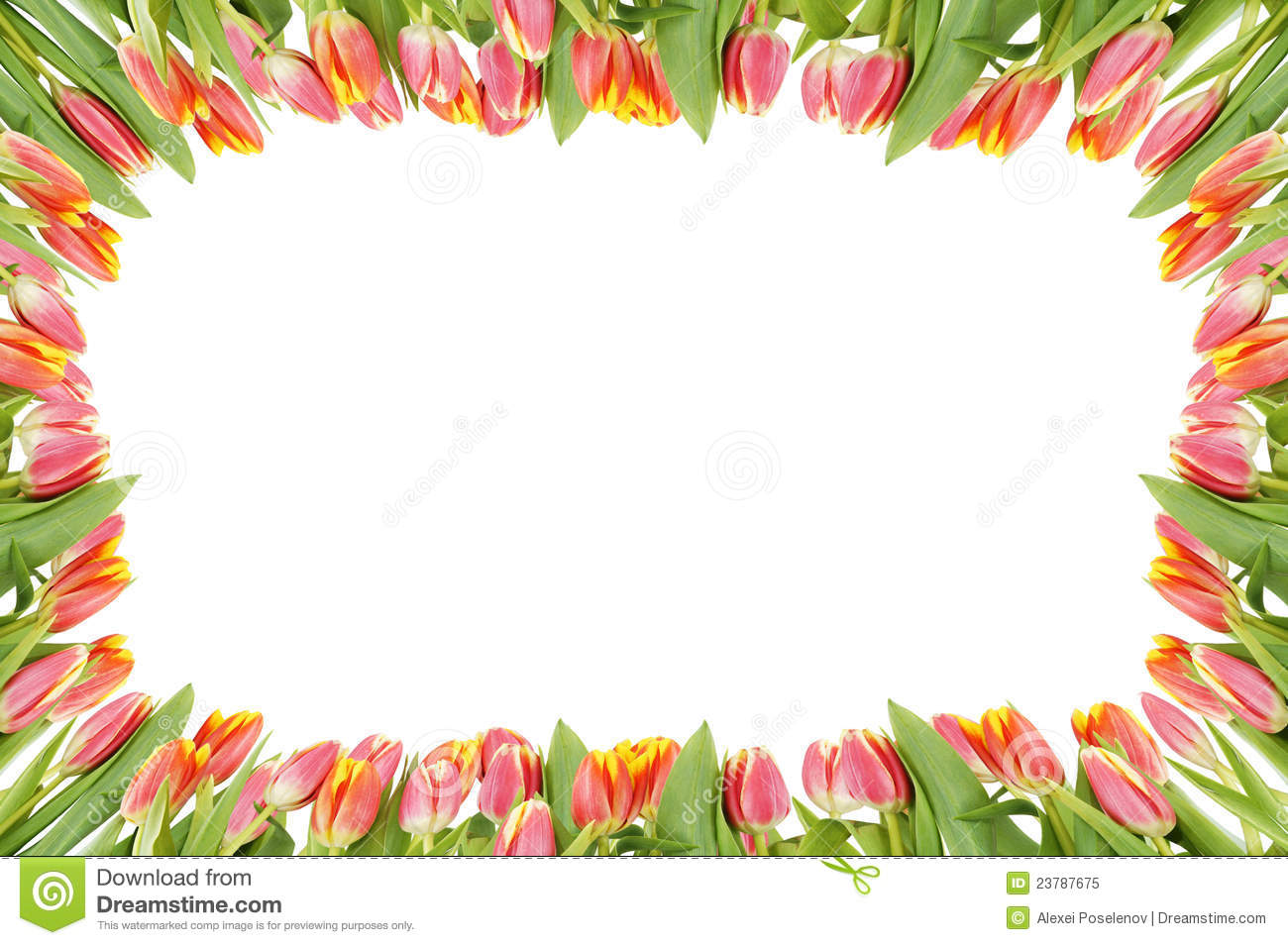 Tulip Flowers Frame Over The White Stock Image - Image of ...Tulips Page Borders Clipart Free