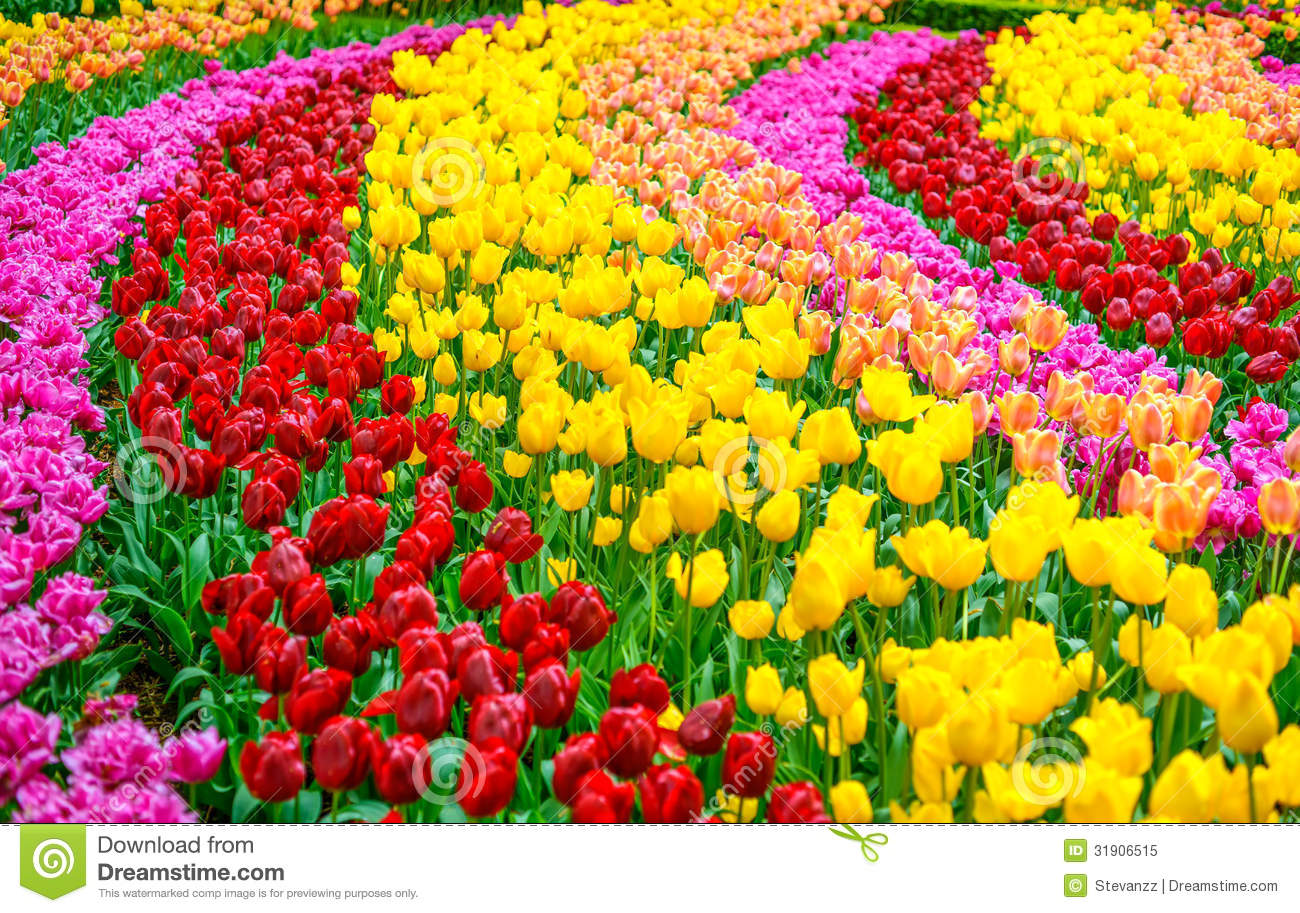 tulip flowers garden in spring background or pattern - Garden Flowers