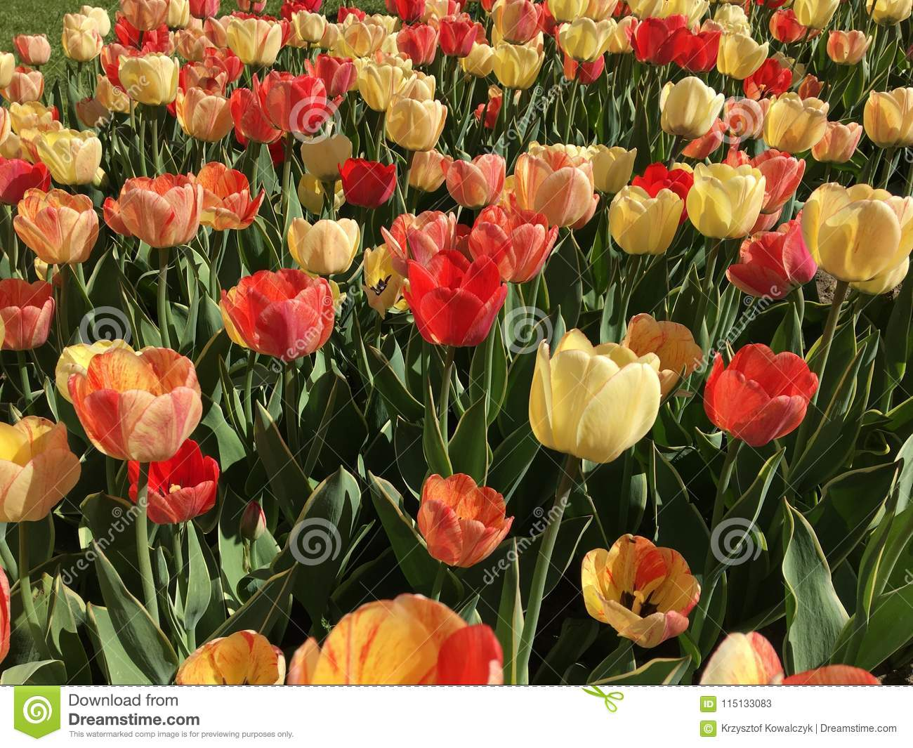 Lots of red and yellow tulip flowers name silverstream stock image tulip flowers garden in spring scientific name tulipa gesneriana gardening mightylinksfo