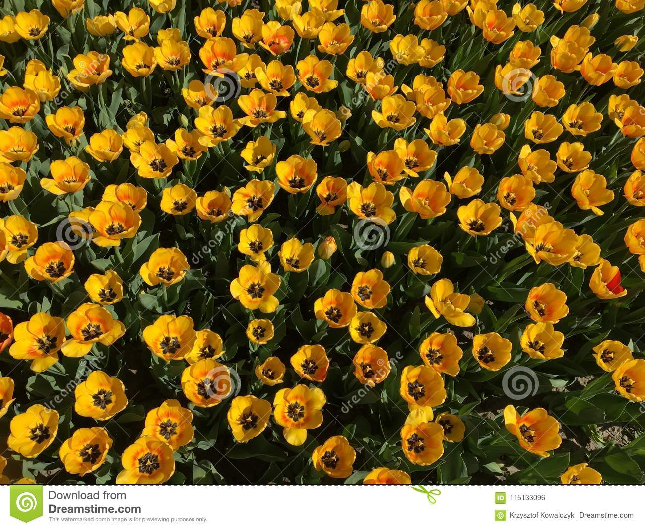 Lots of yellow tulip flowers name beauty of spring stock photo download lots of yellow tulip flowers name beauty of spring stock photo image mightylinksfo