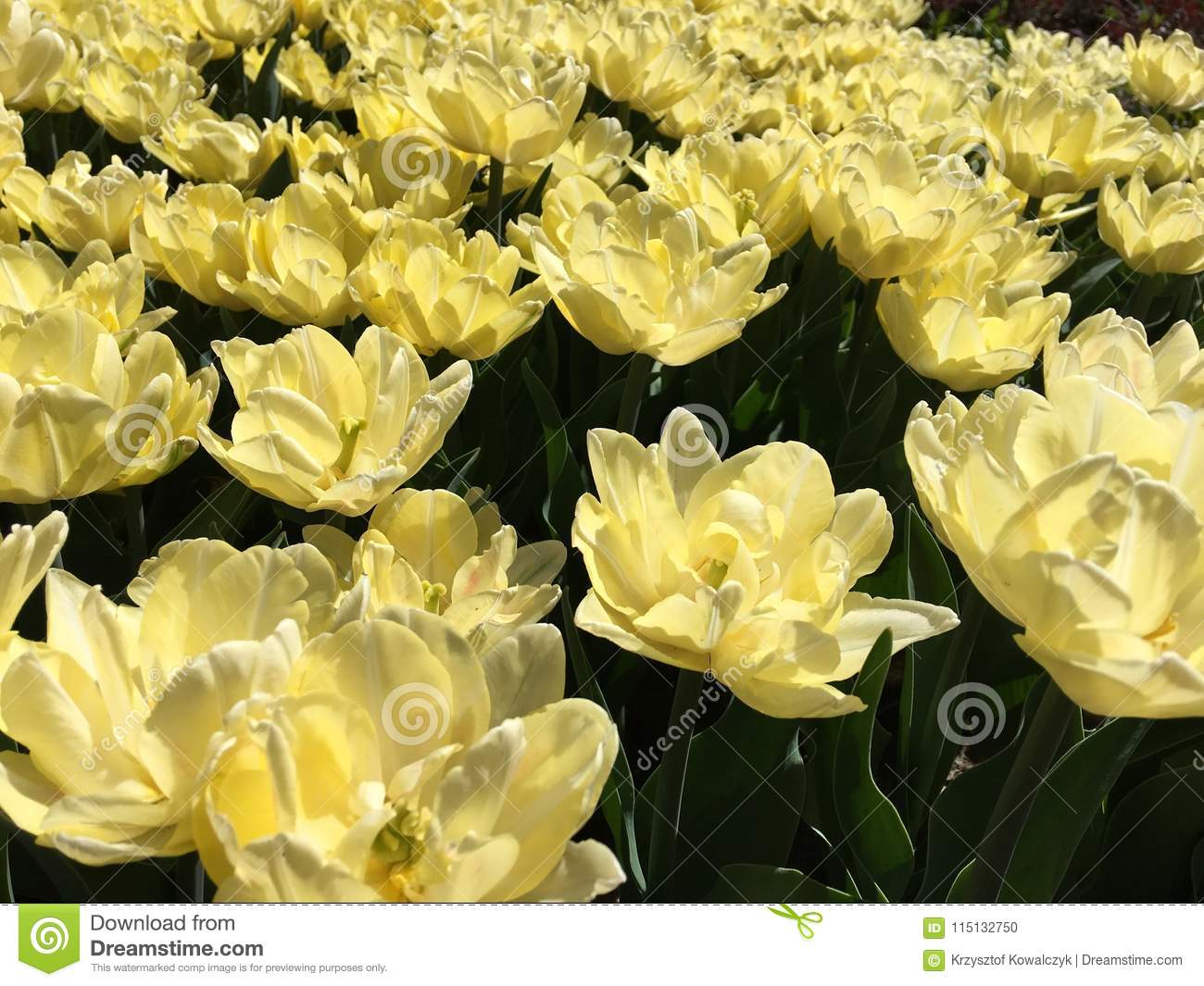 Lots Of Yellow Tulip Flowers Name Foxy Foxtrot Stock Photo Image