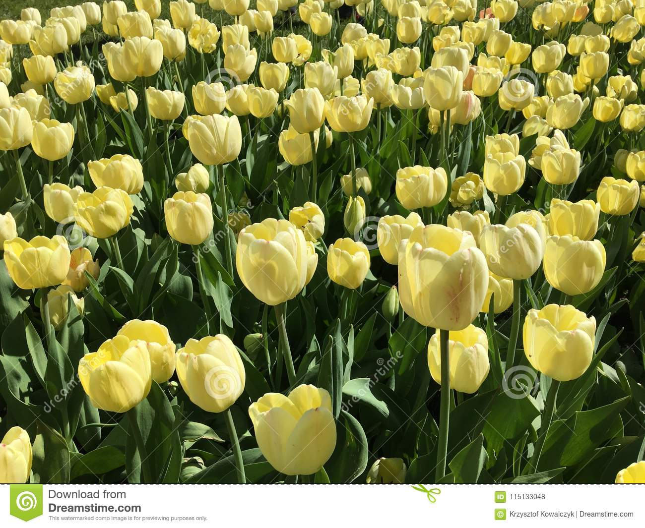 Lots Of Yellow Tulip Flowers Name Ivory Floradale Stock Photo