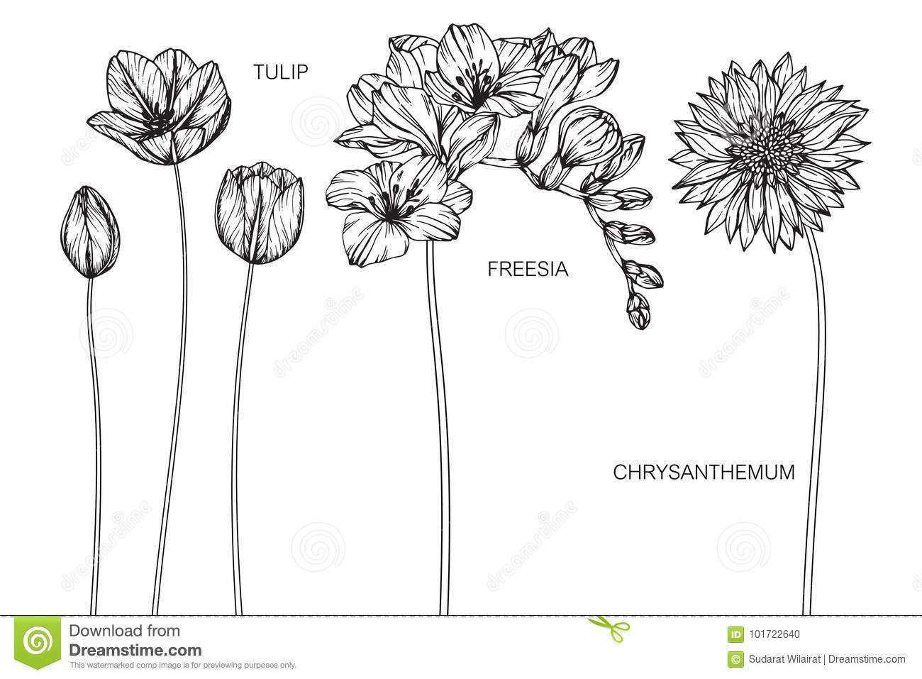 bd0c1da44 Tulip, Freesia, Chrysanthemum Flowers Drawing And Sketch. Stock ...