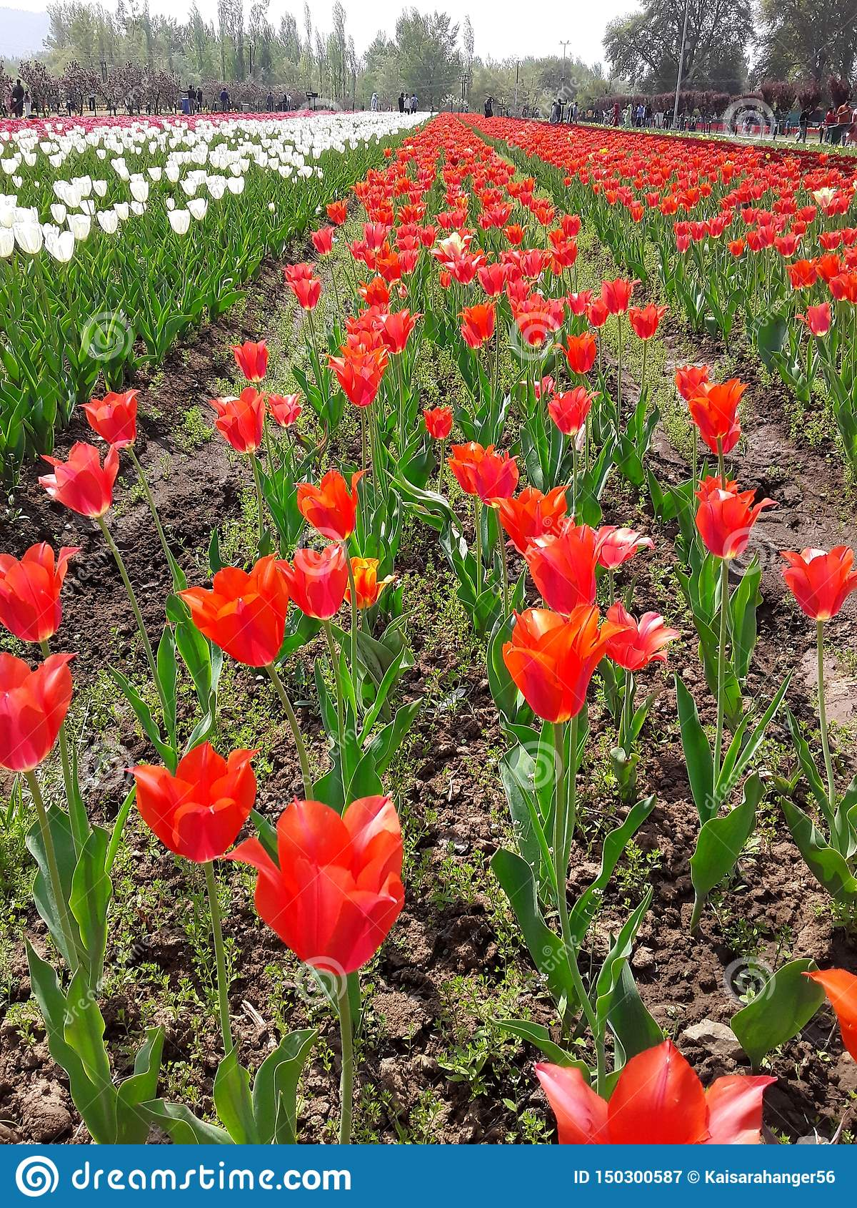 Tulip Garden à Srinagar