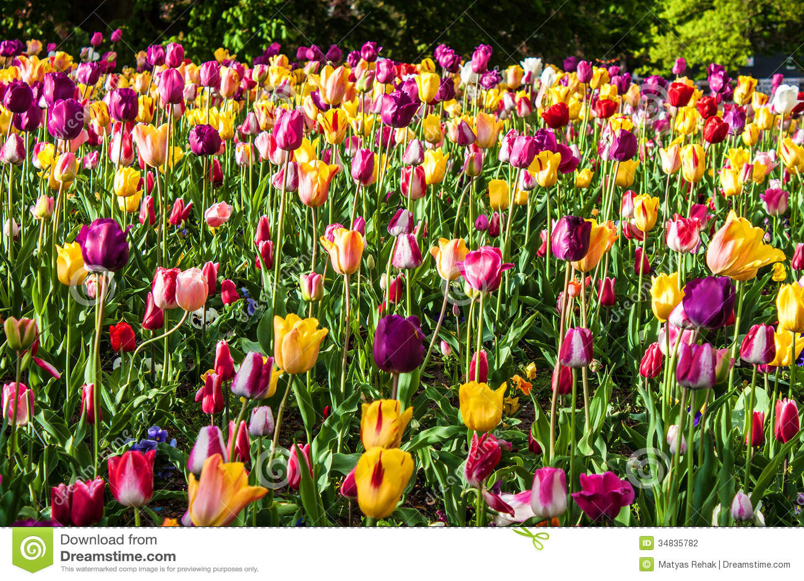 Tulip Garden In Amsterdam Stock Photo Image Of Tulip