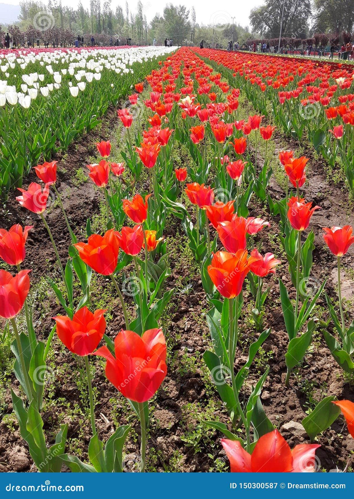 Tulip Garden em Srinagar