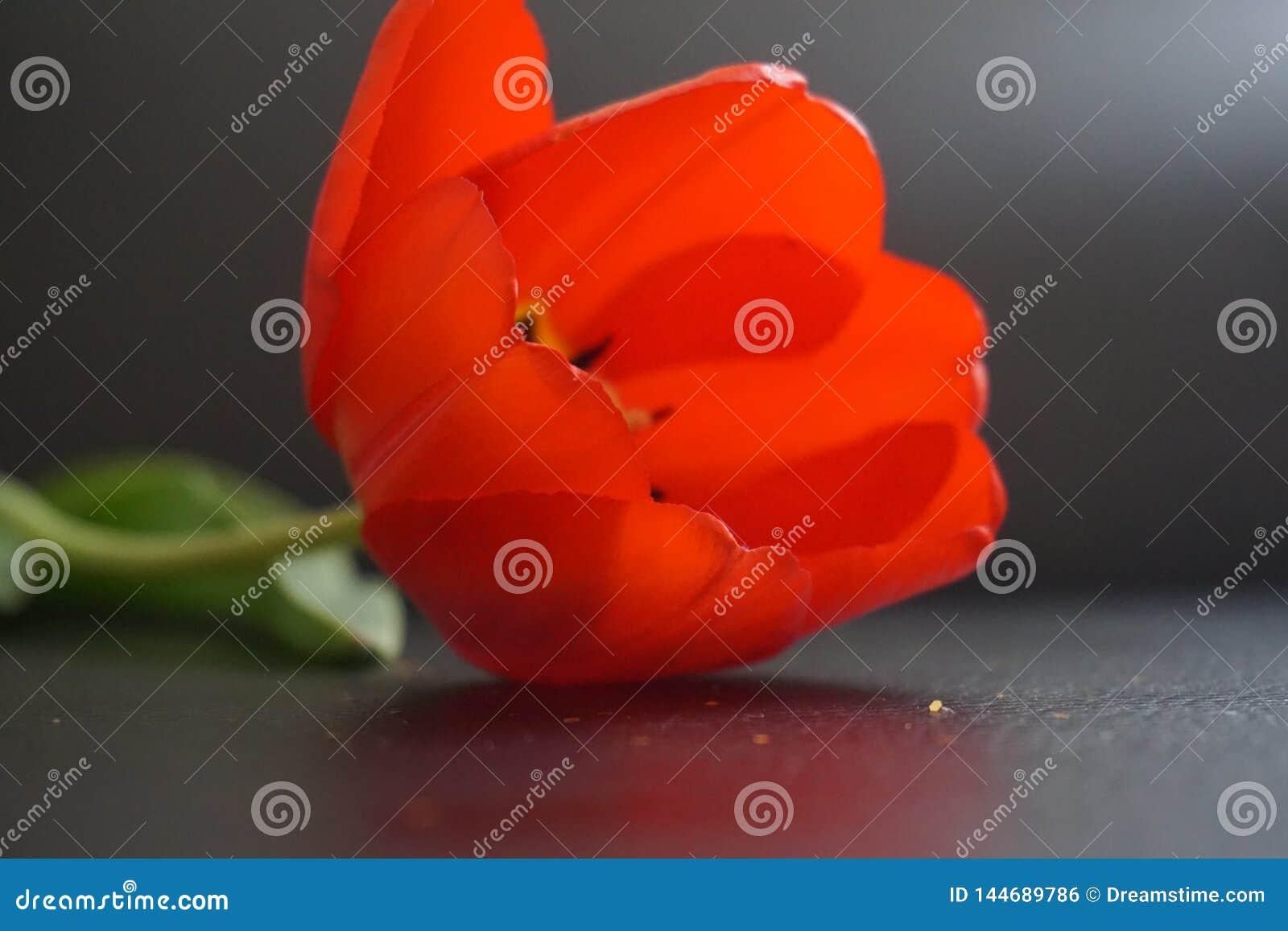 Tulip With Glitter