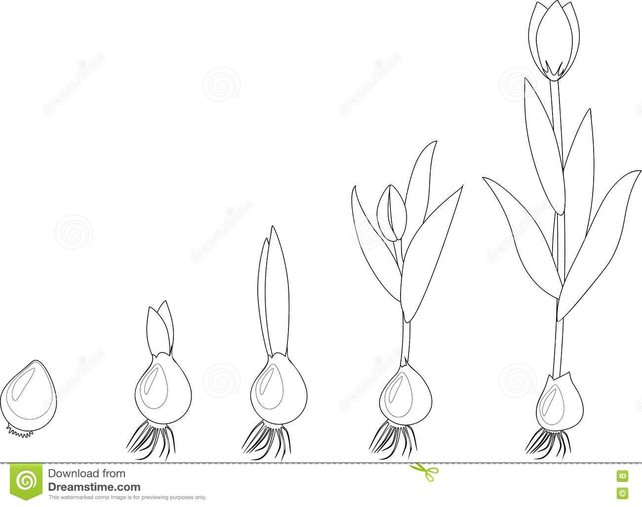 tulip growth stage coloring stock vector image 70668505