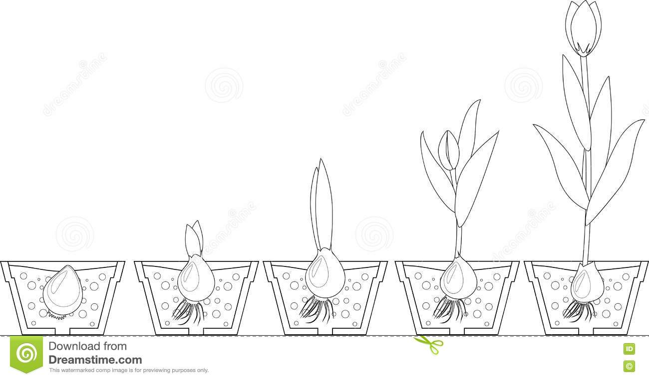 tulip growth stage coloring stock vector image 70669250