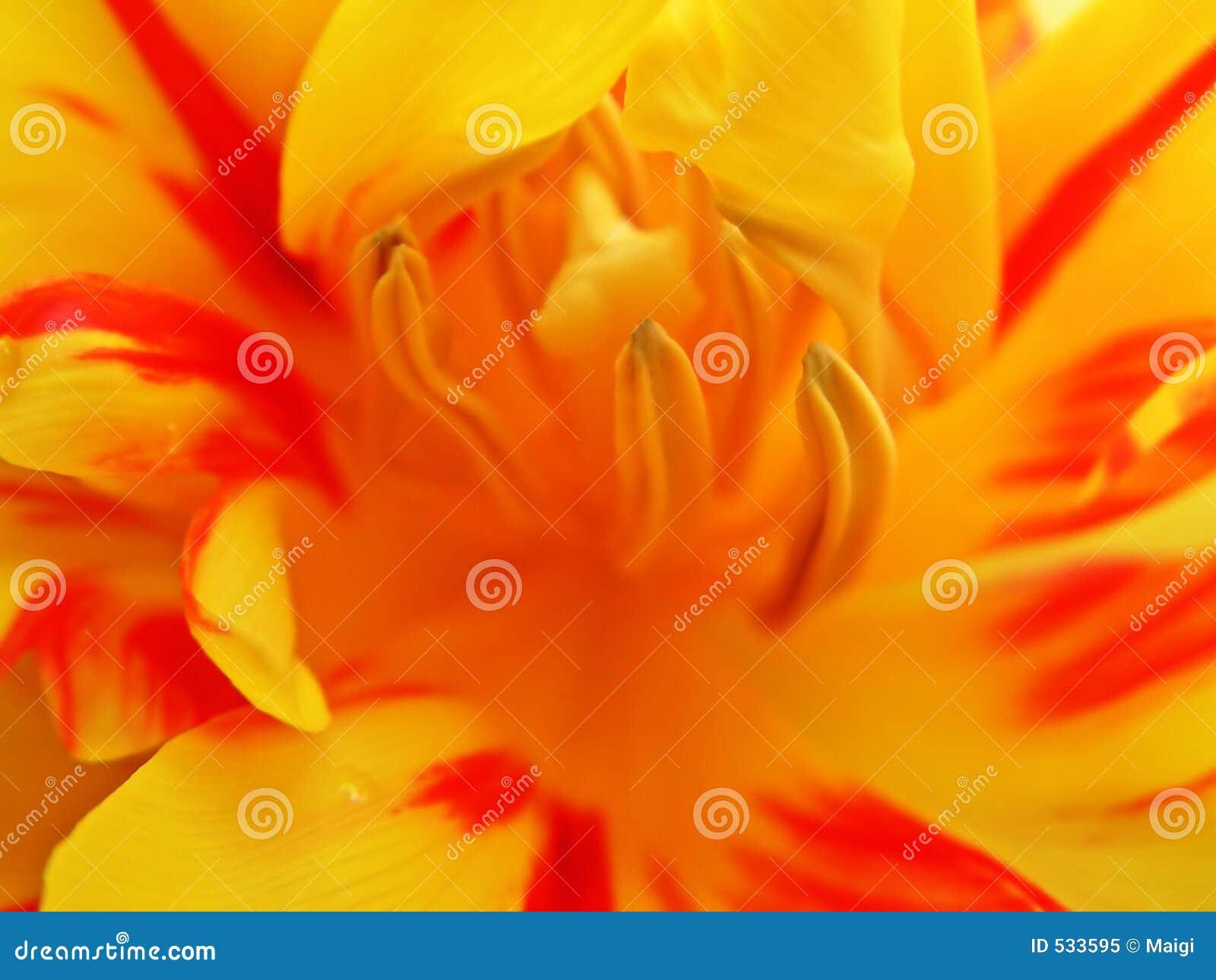 Tulip interno 1
