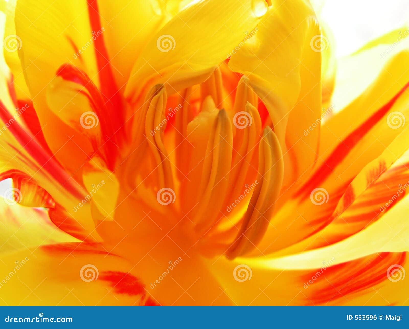 Tulip interno 2
