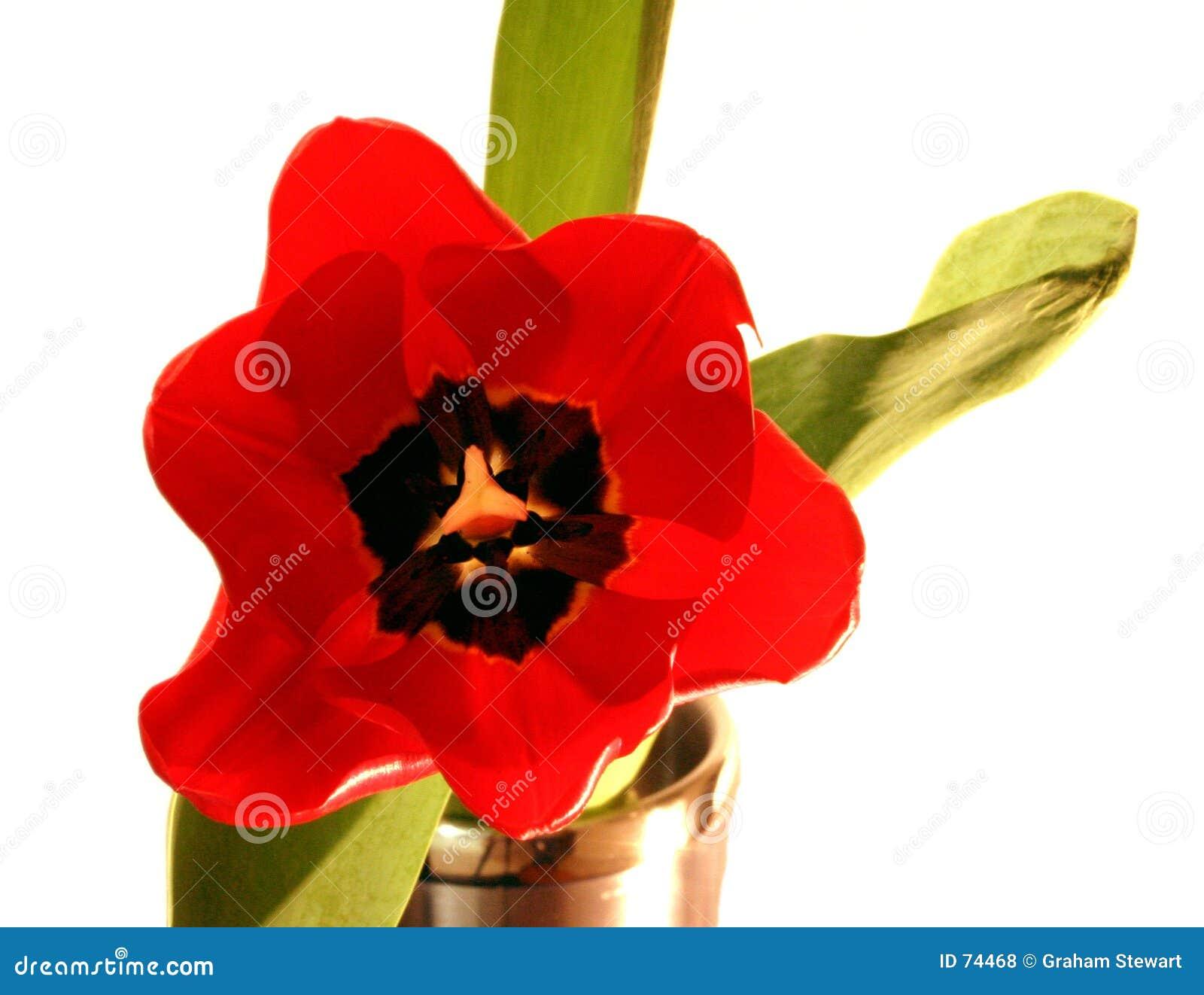 Tulip isolado