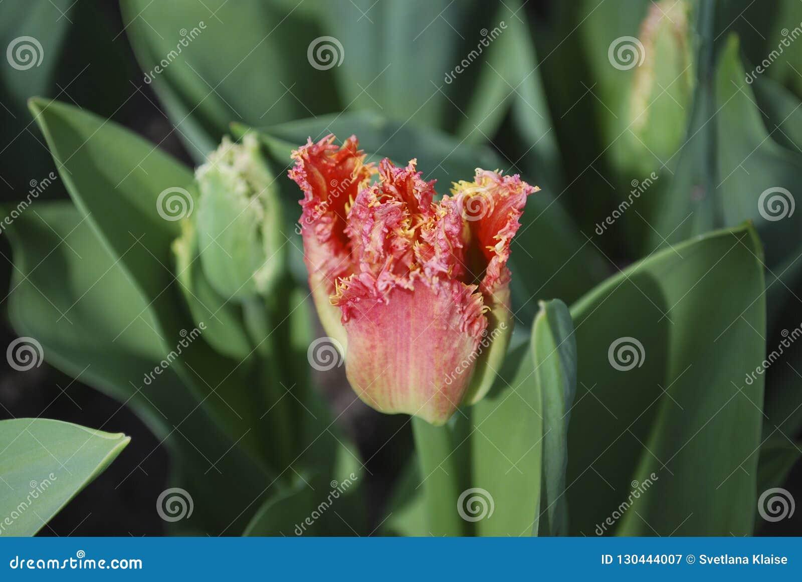 Tulip Joint Devison Fringed Group växer i blomsterrabatten