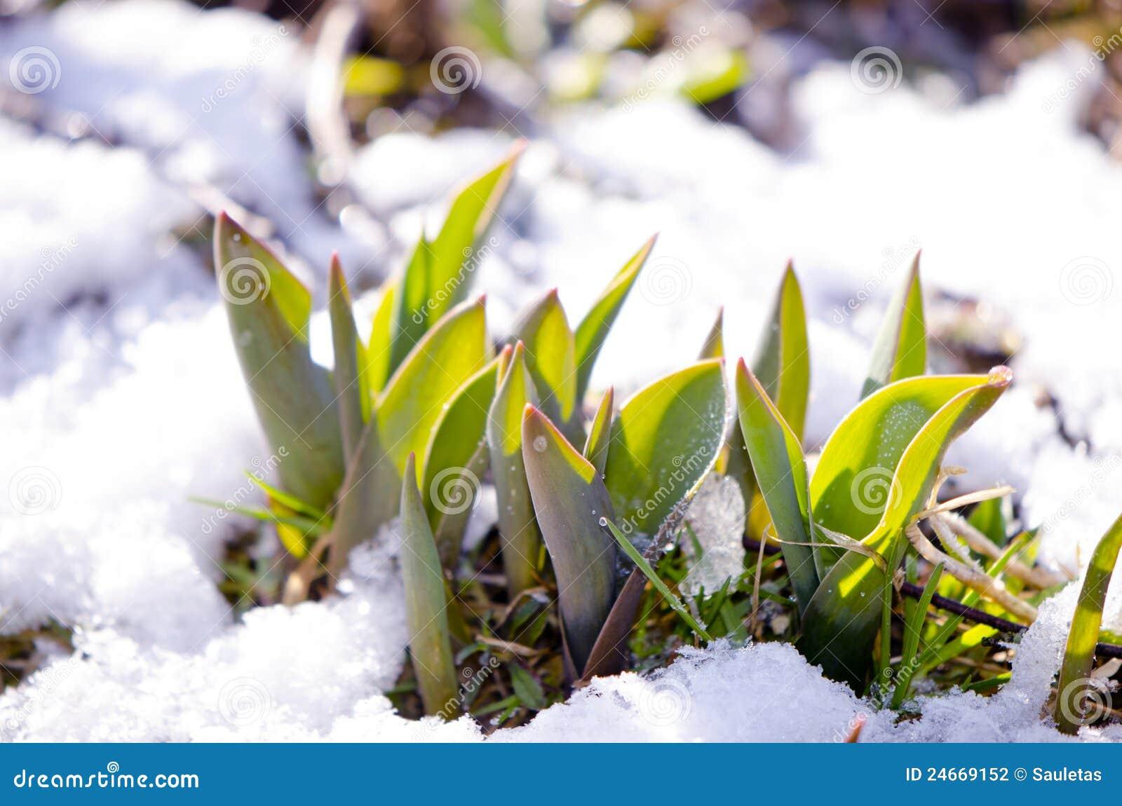 Tulip leaves between melting snow in spring