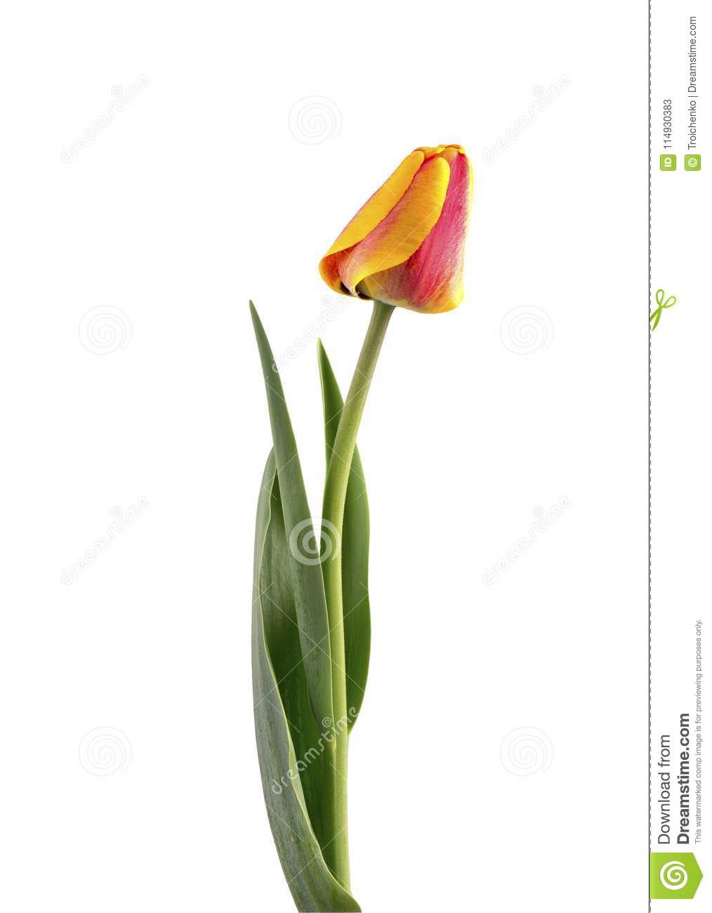 Tulip On A Long Stem With Leaves Isolated On White Background