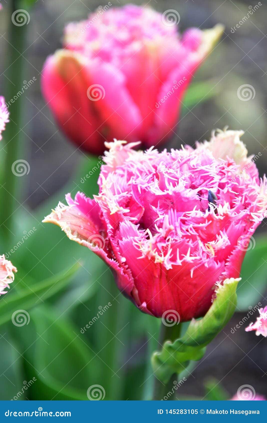 Tulip Mascotte frangée a les fleurs luxuriantes, doubles, fuchsia-roses