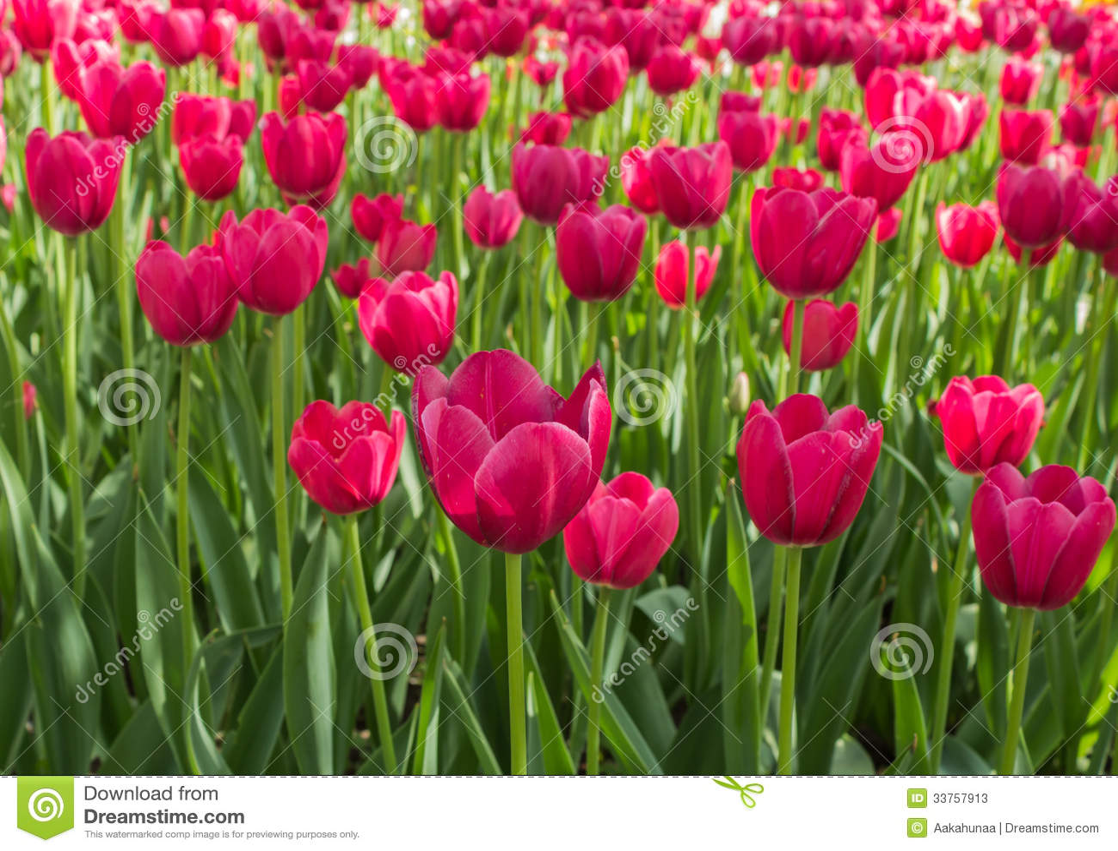The Tulip Stock Image Image Of White Hope Dream Yellow 33757913