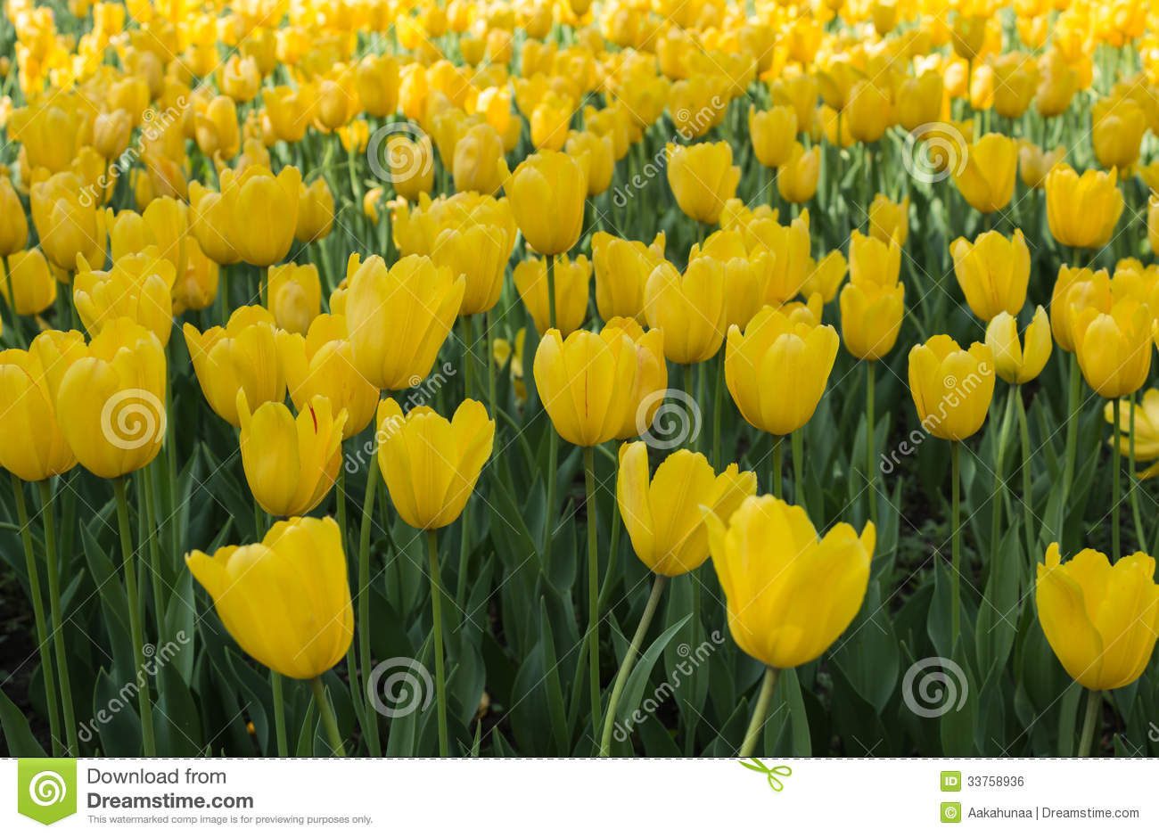 The tulip stock photo image of green netherlands nature 33758936 the meaning of tulips is a kind of flowers in plant taxonomy is a kind of belong to the lily family tulip bulb with herbaceous plants of the genus mightylinksfo