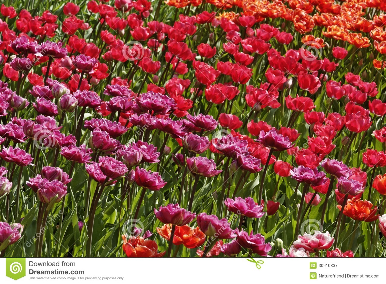 Tulip mixture with red and pink flowers stock image image of dutch tulip mixture with red and pink flowers mightylinksfo
