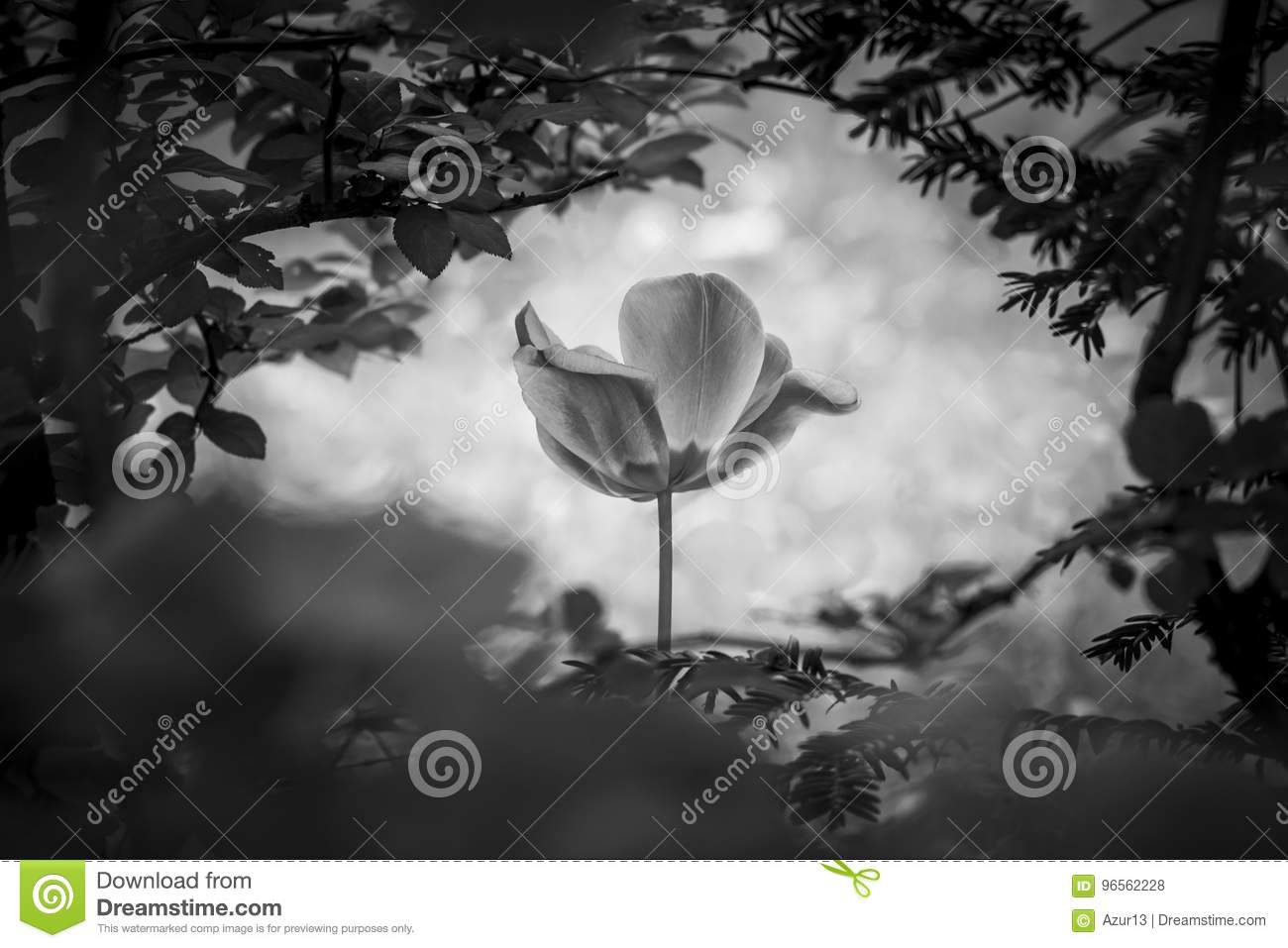 Tulip Resurrection In Black And White For Peace Love Hope Stock